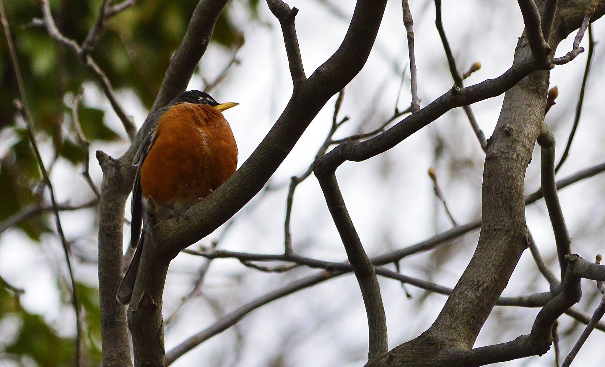 Spring is in the Air (American Robin) by jamie.dorton