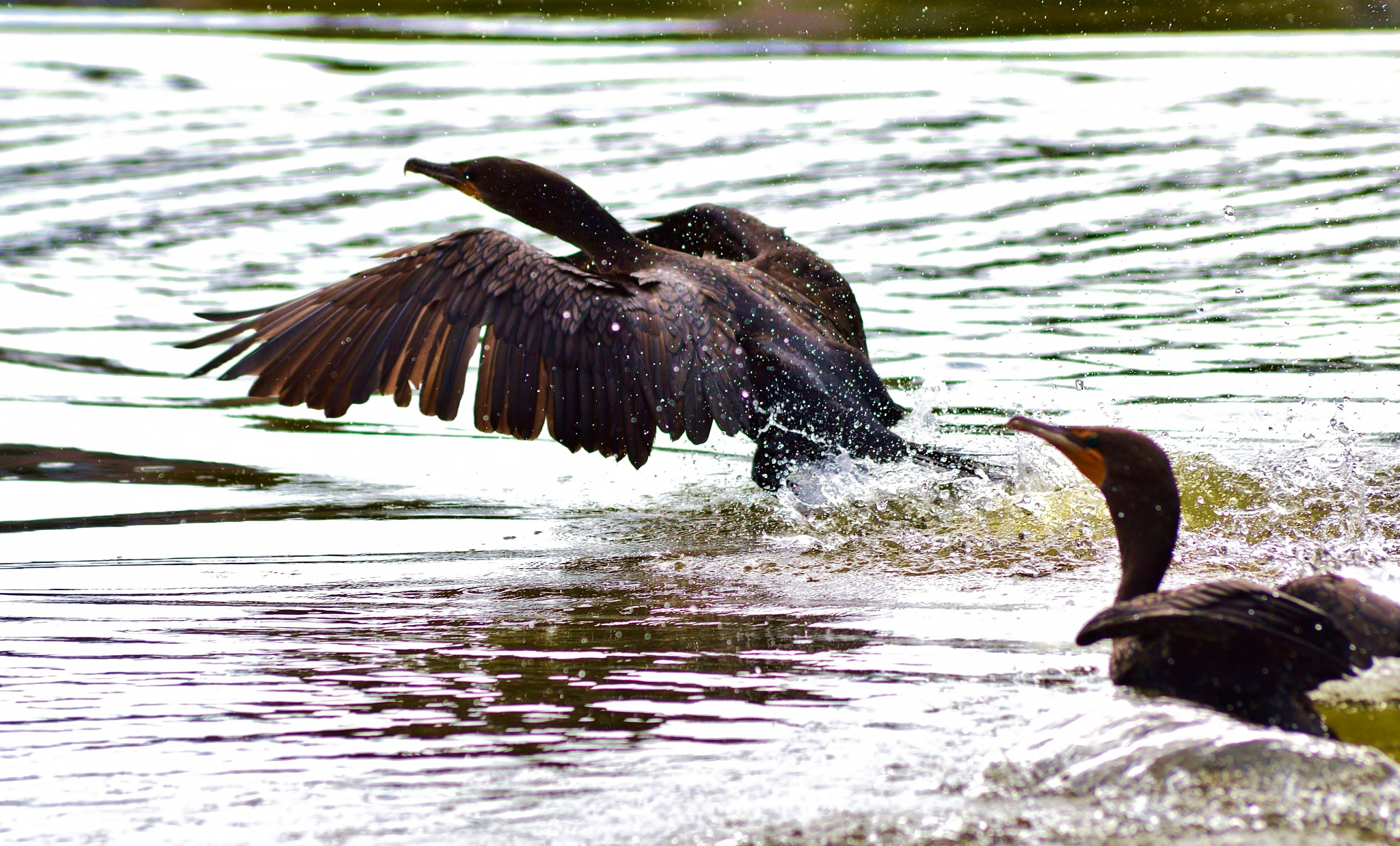 Double Crested Cormorants by jamie.dorton