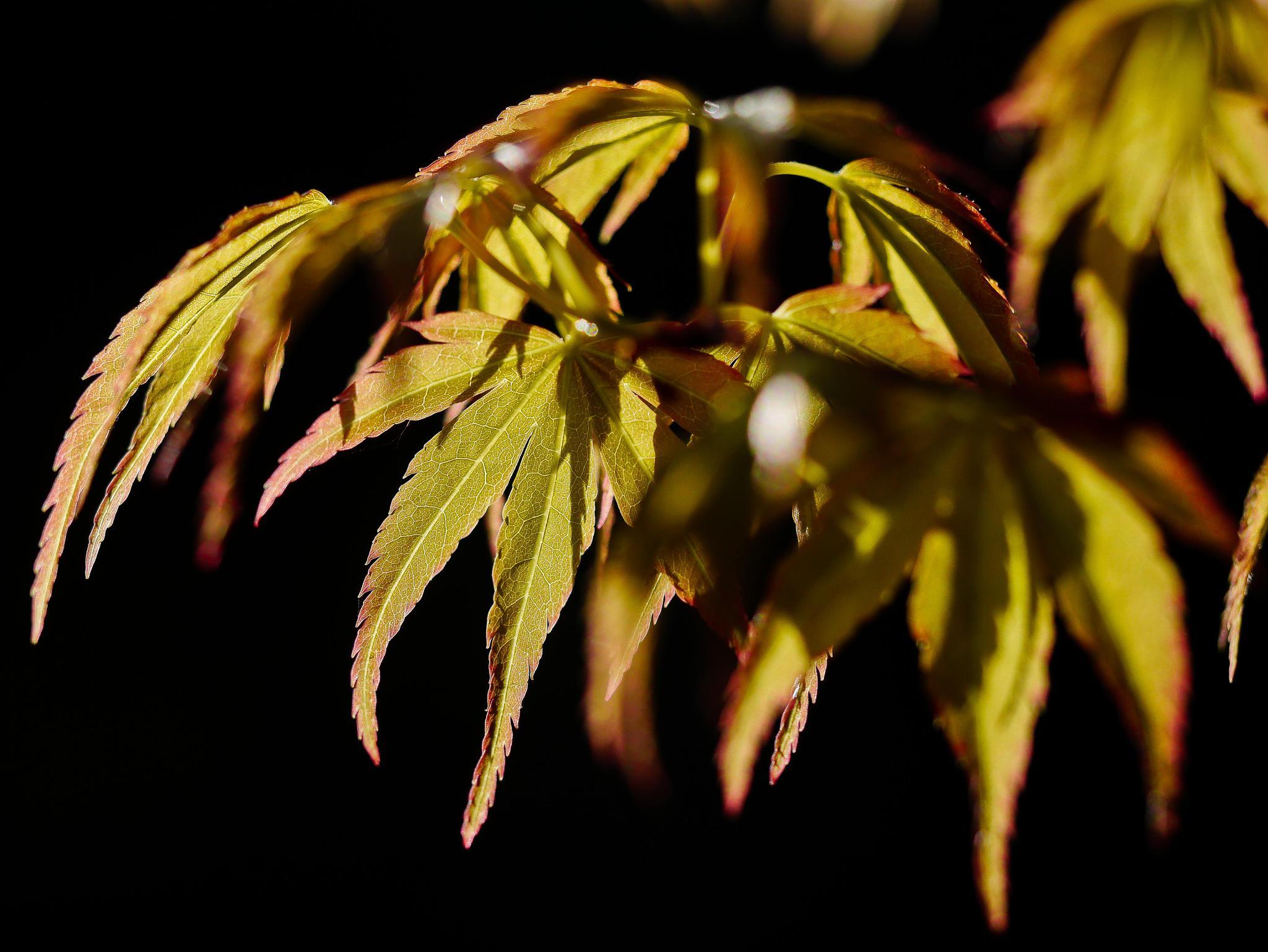 Acer Palmatum Katsura by firebobbi