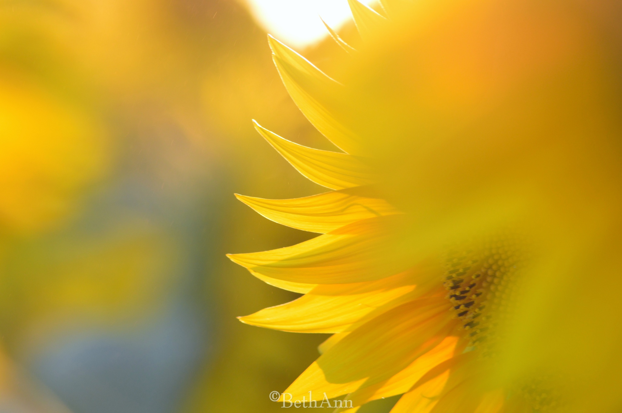 Sunflower by beth.bragawnettleton