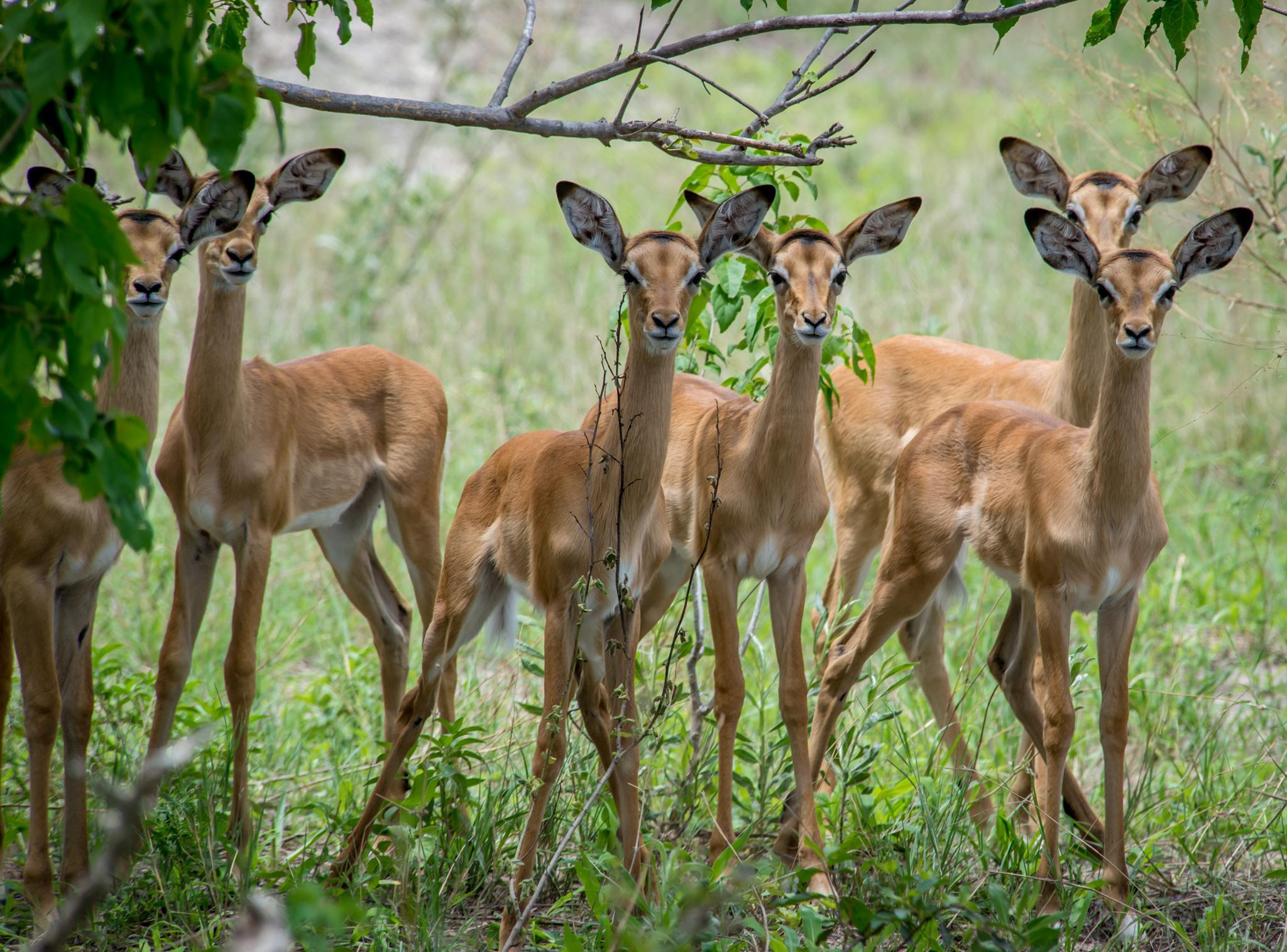 Photo in Animal #impala #wildlife #baby #nursery #botswana #africa