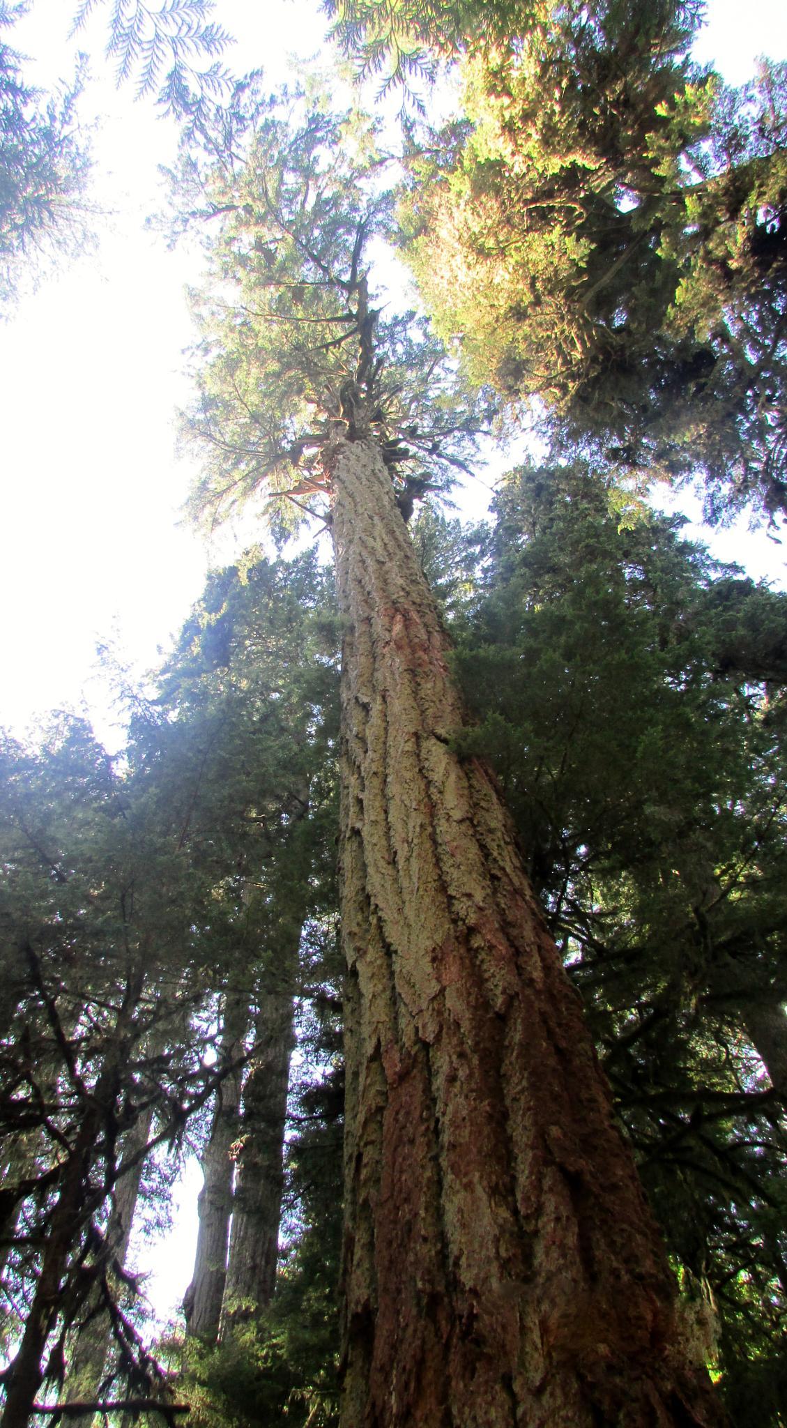 Huge Douglas Fir Trees of Vancouver Island by Lisa Marshall Moore
