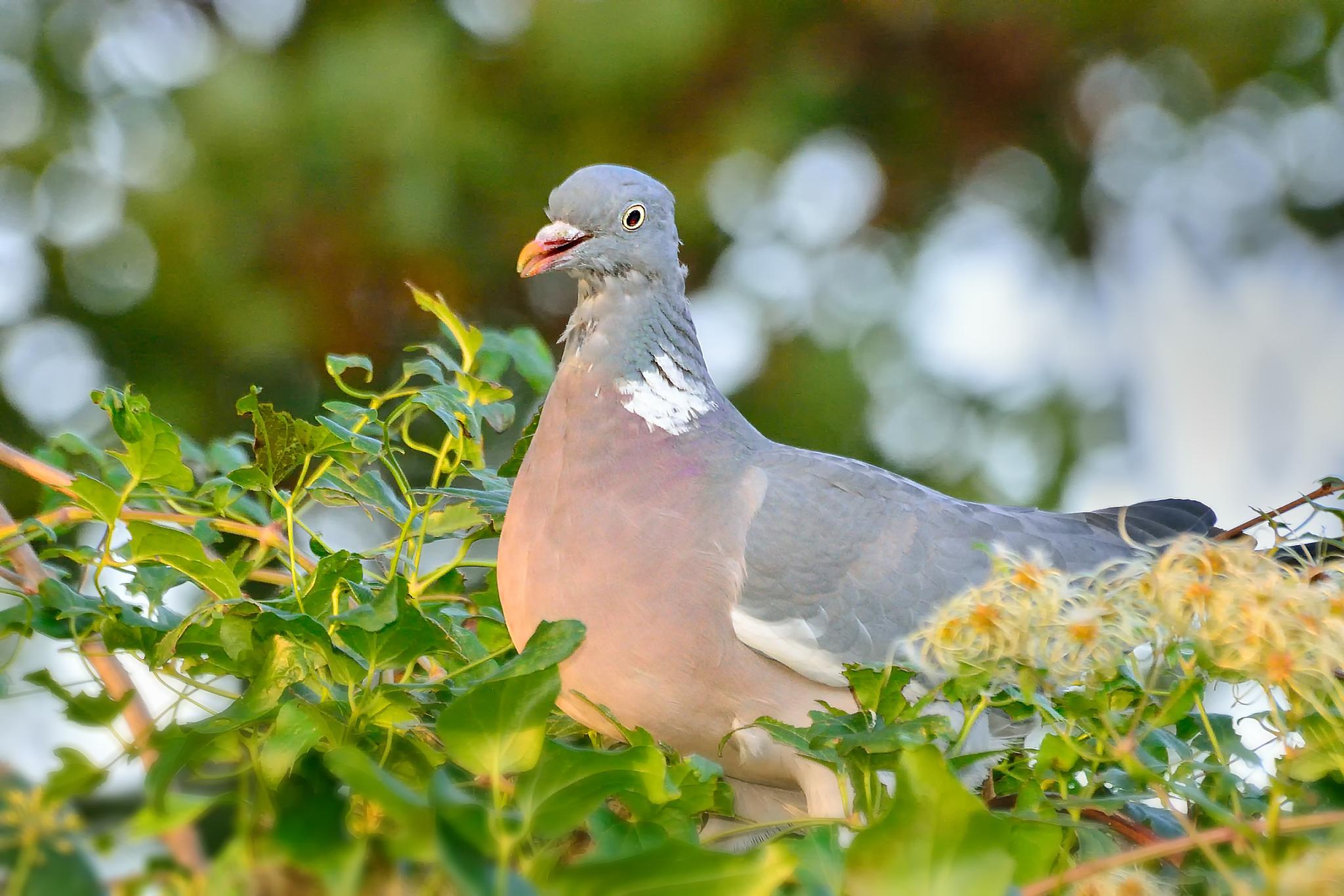 Pigeon by Akanjee Nizam