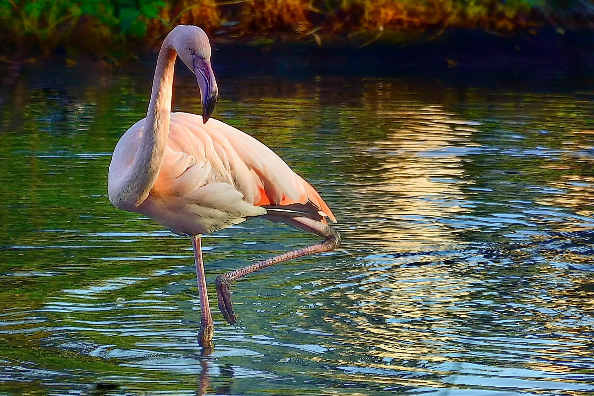 Flamingo looking for fish by Akanjee Nizam