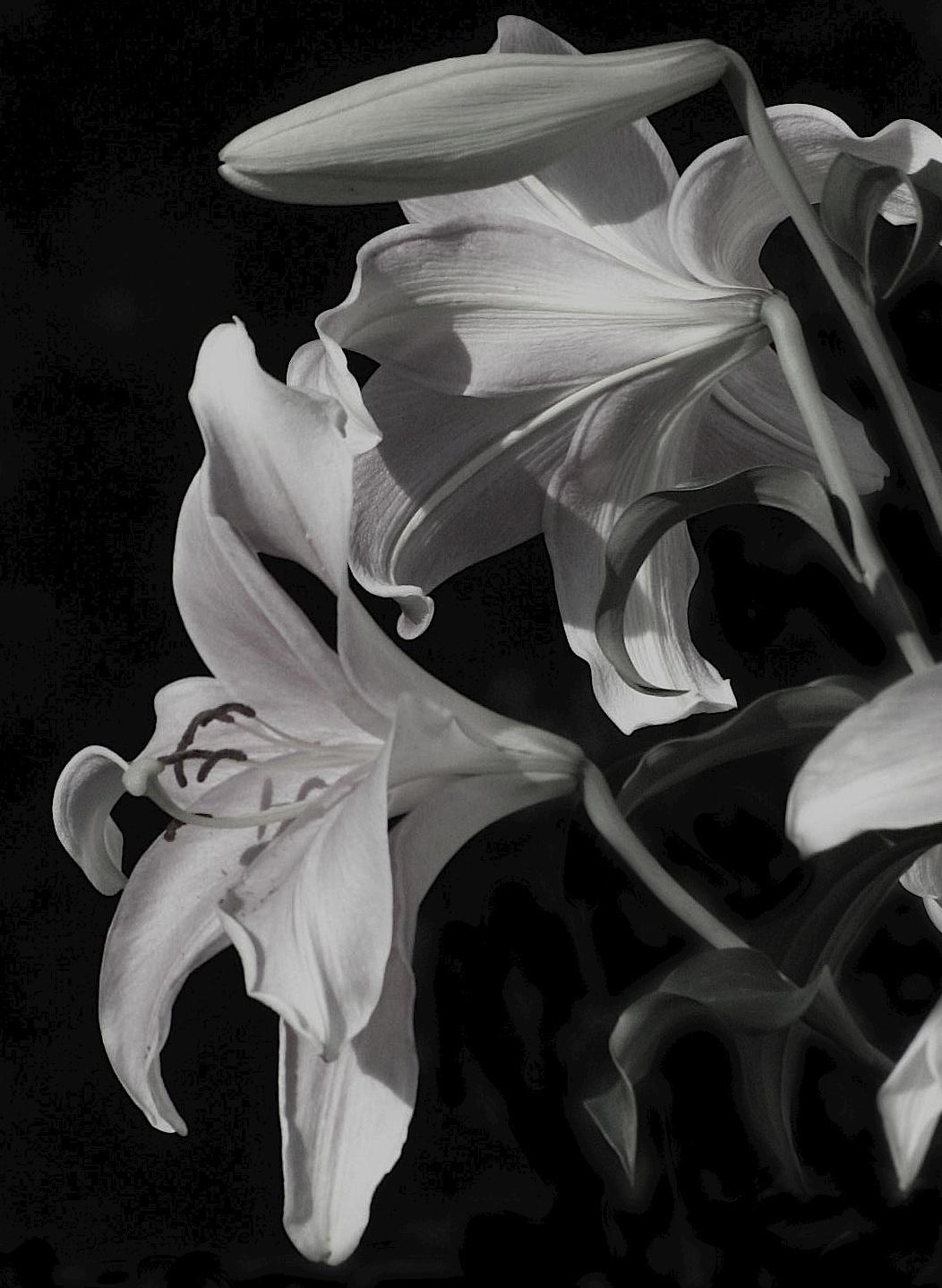 Oriental Lilies by lindadobsonpiper