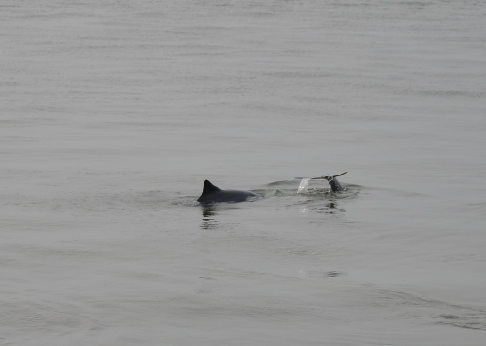 Dolphins playing in the Charleston Harbor by Marcy Cox