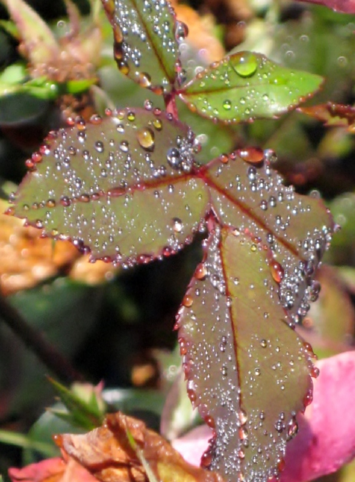 Rose leaves after a rain by Marcy Cox