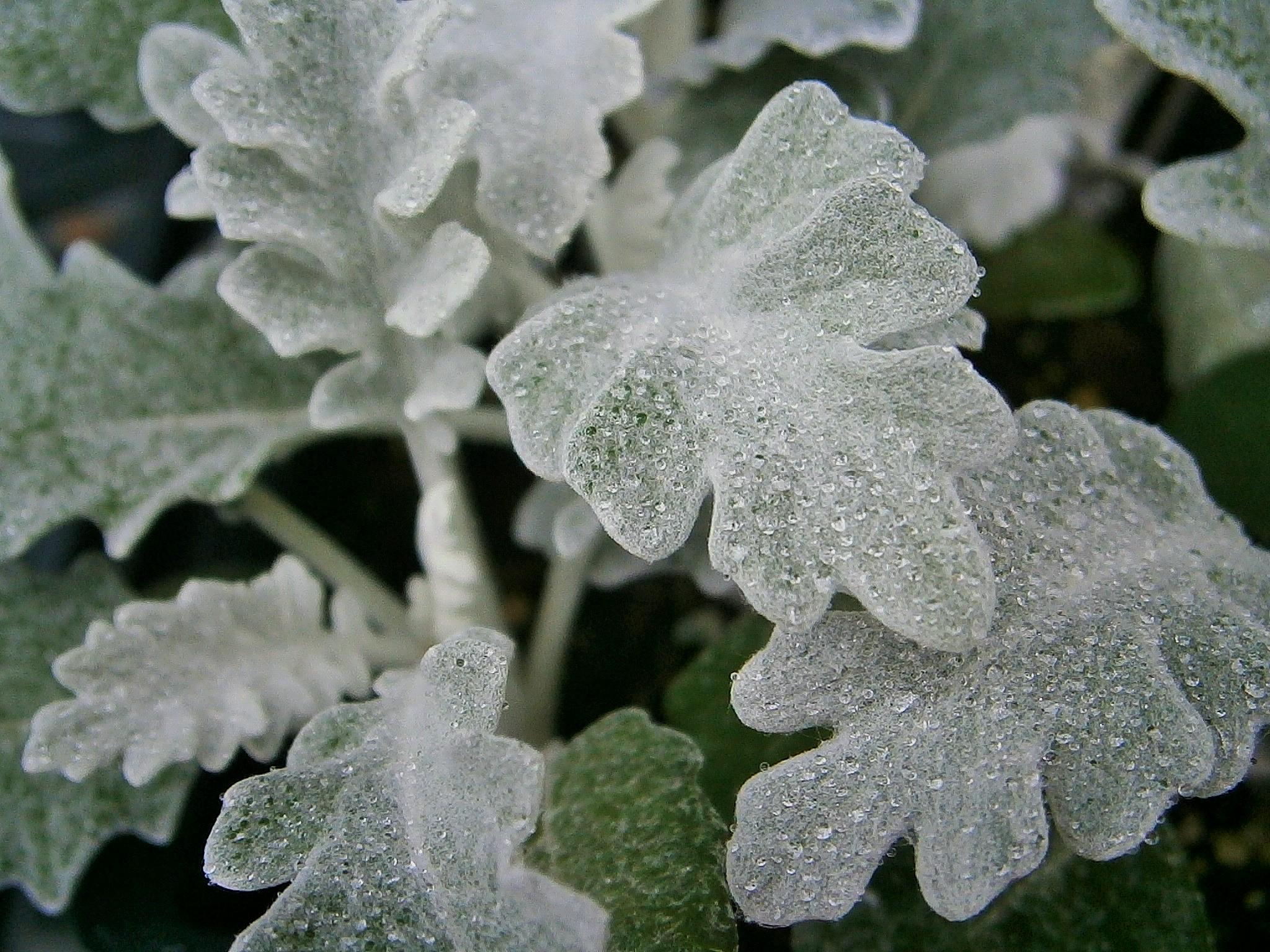 frosted dew by robin.lieberman.7