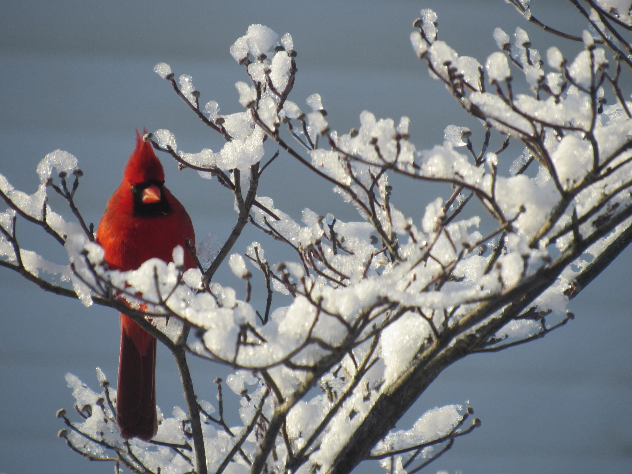 Winter bird beauty by patty.weeks1