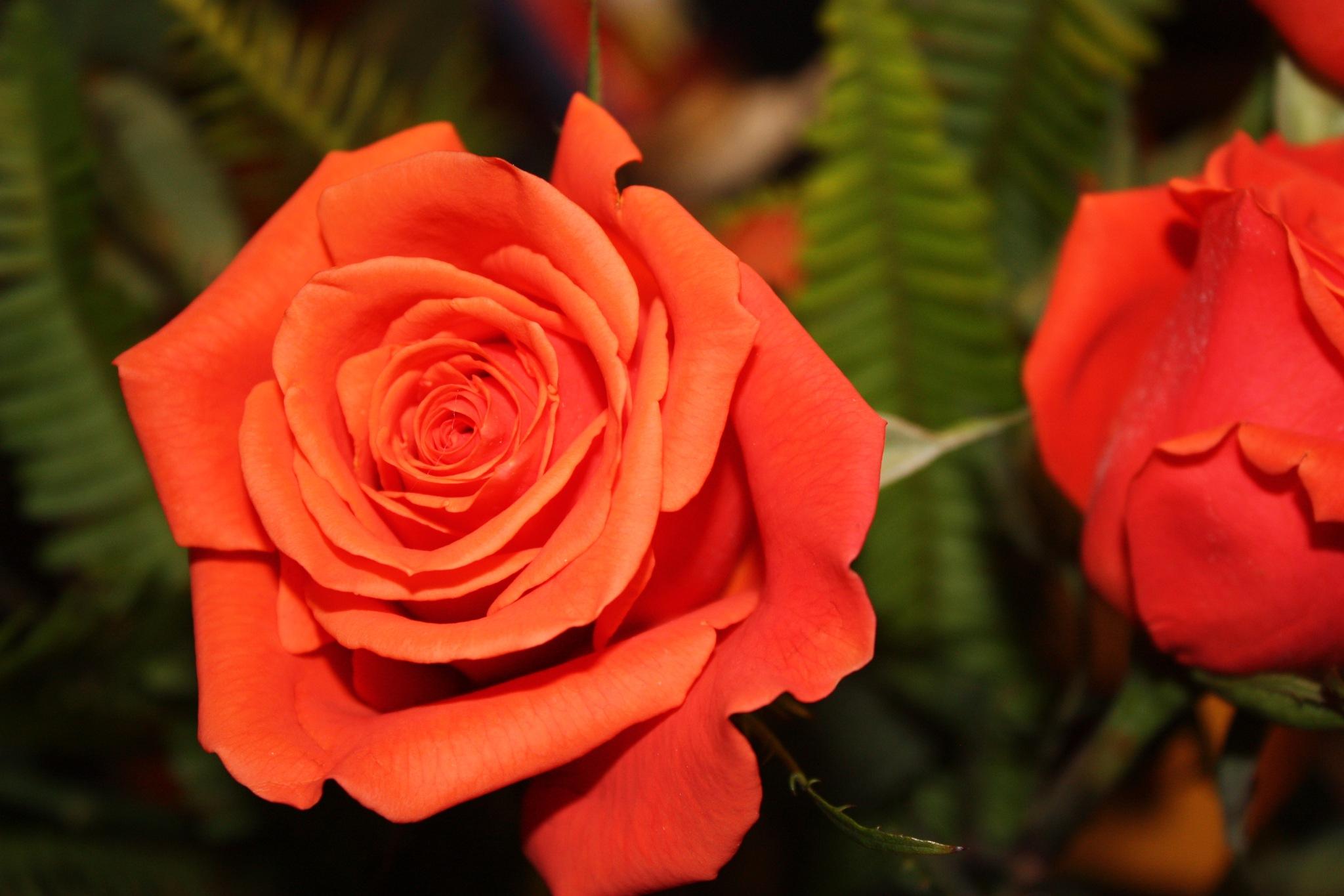 Orange Rose by rangerlina