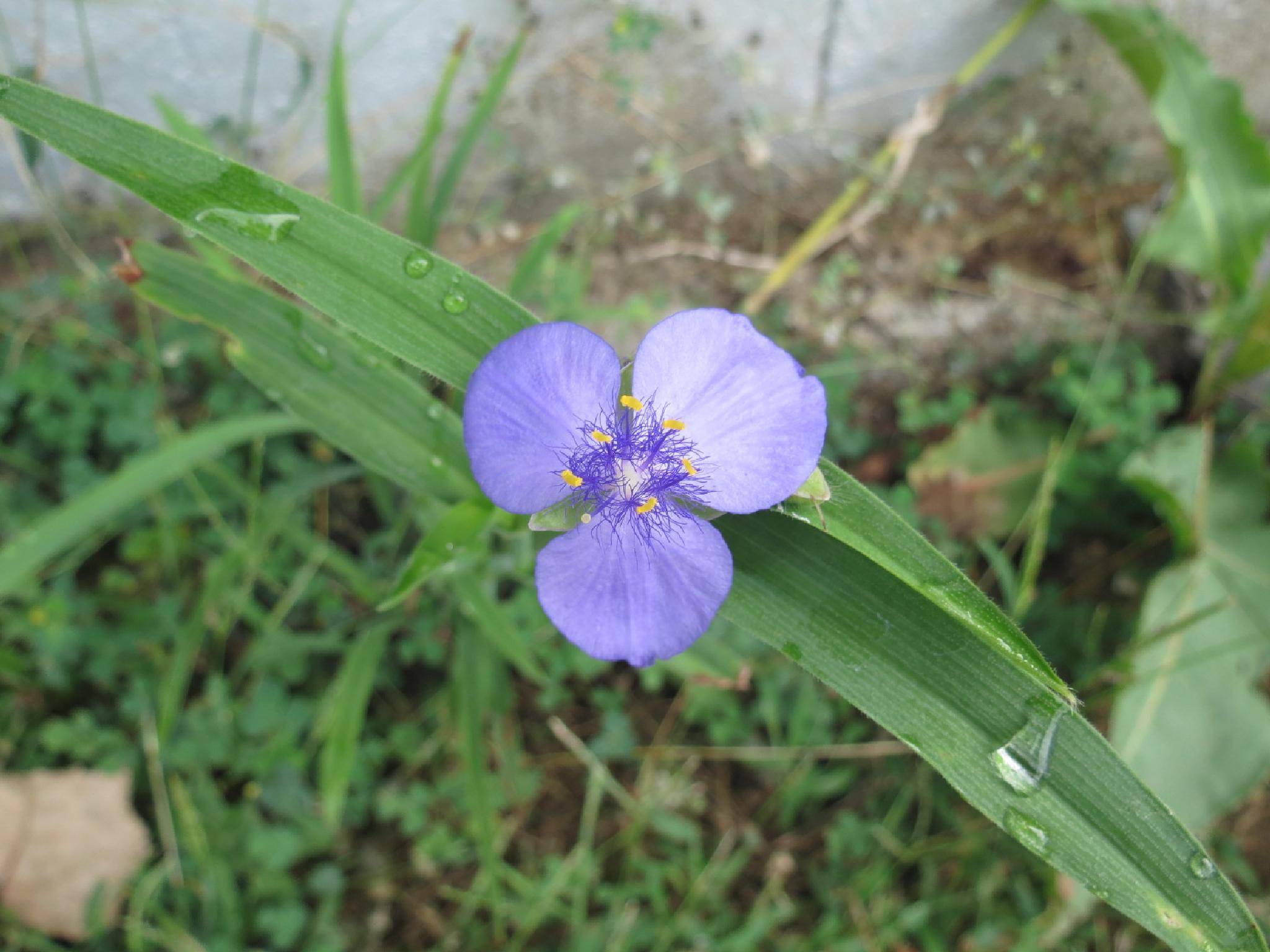 Spiderwort Bloom by pauline.burden.60