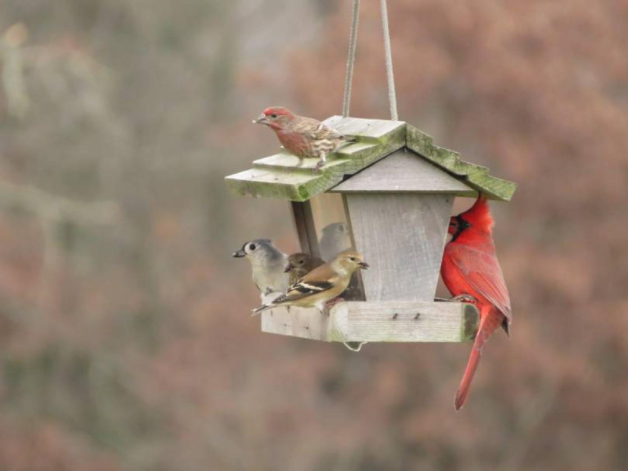 Cardinal, Tufted Titmouse & Finches by pauline.burden.60
