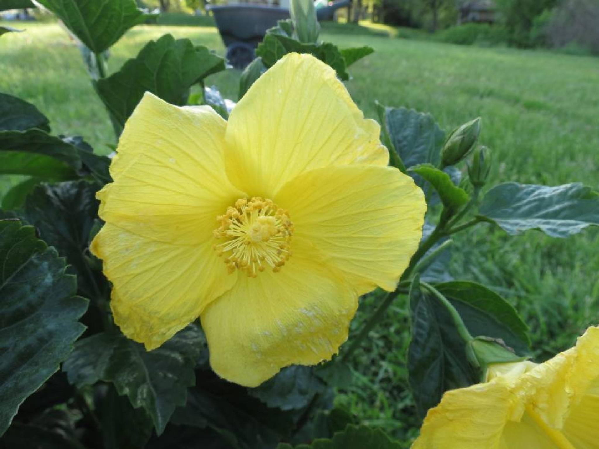 Hibiscus Bloom by pauline.burden.60