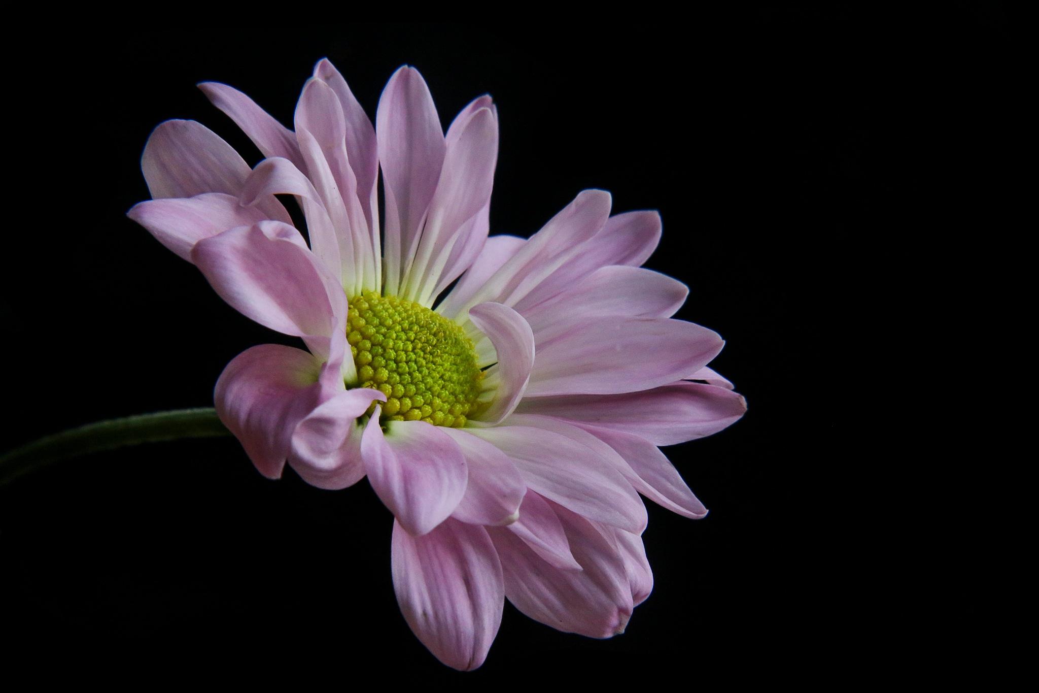 a daisy  by sharral