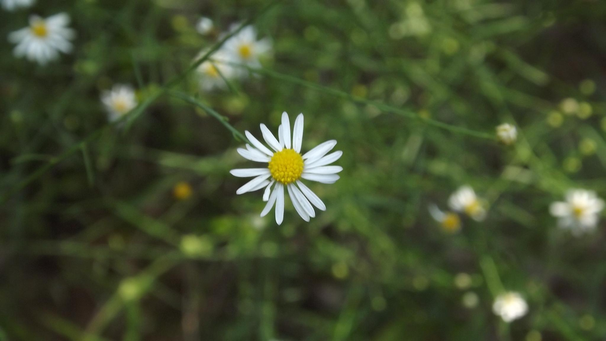 lil daisy by laura.r.allen.5