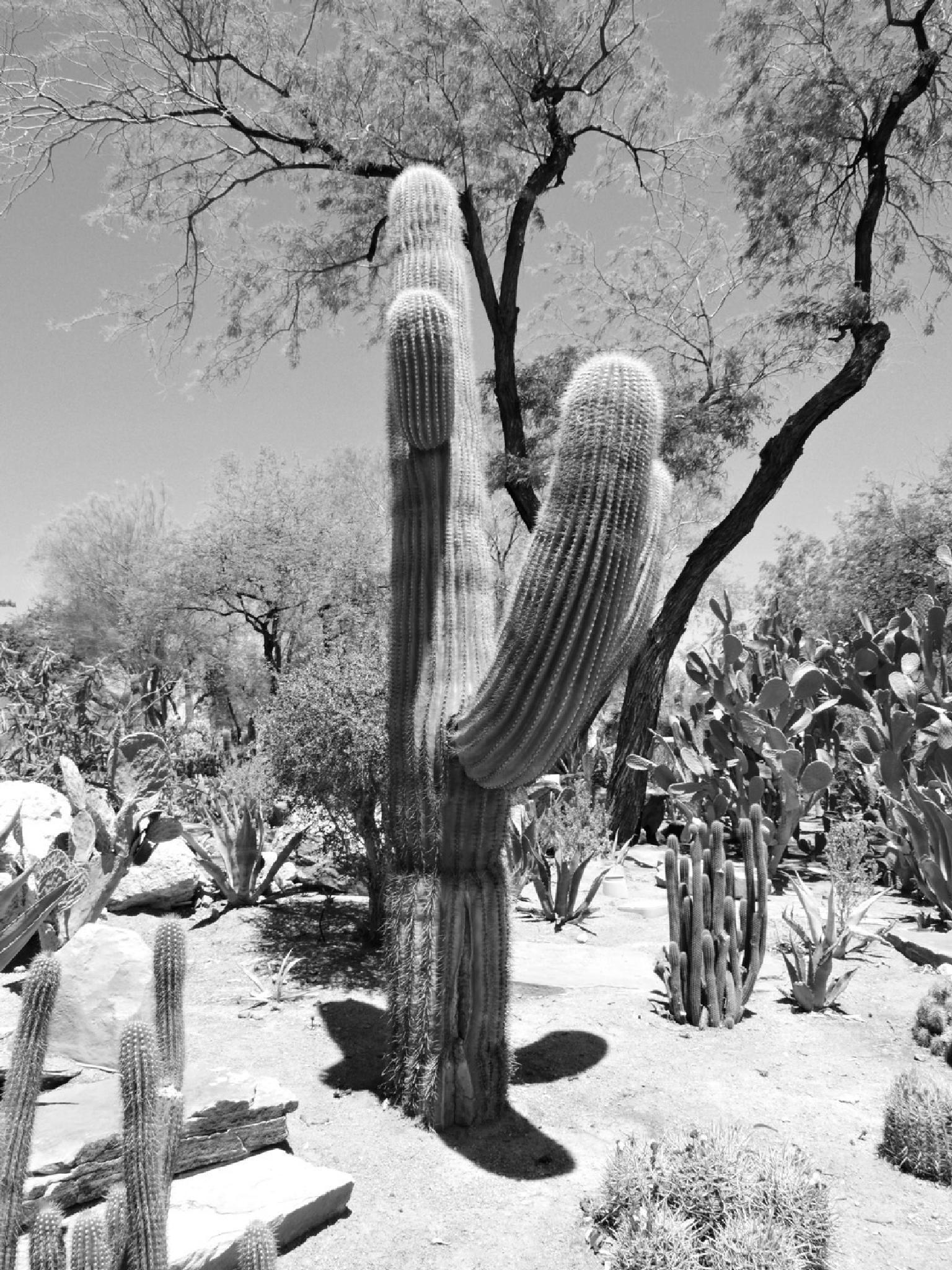 Photo in Nature #cacti #cactus #desert #southwest #nevada #black & white photography #nature