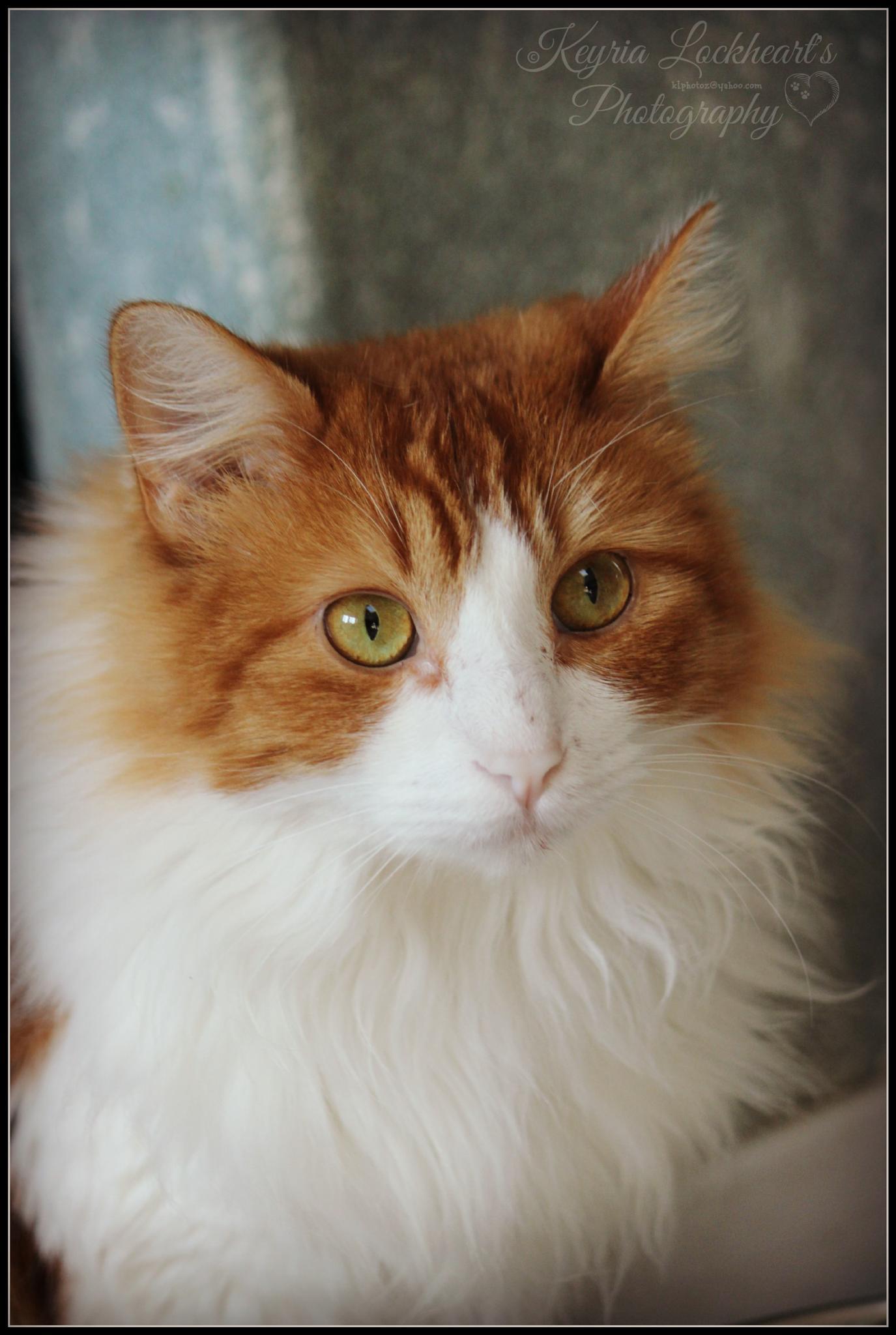 Orange and white kitty by kyria.lockheart