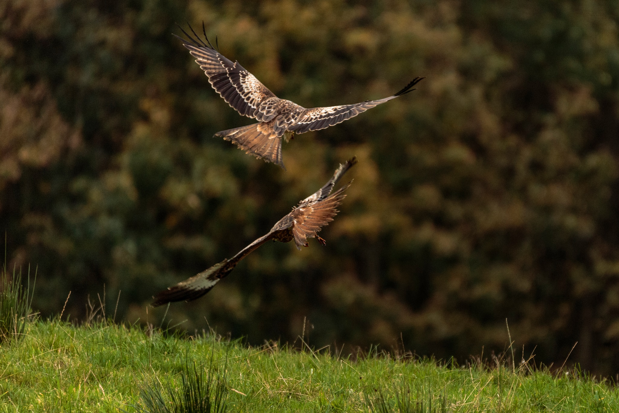 Dance of the Red Kites.. by dgwhit
