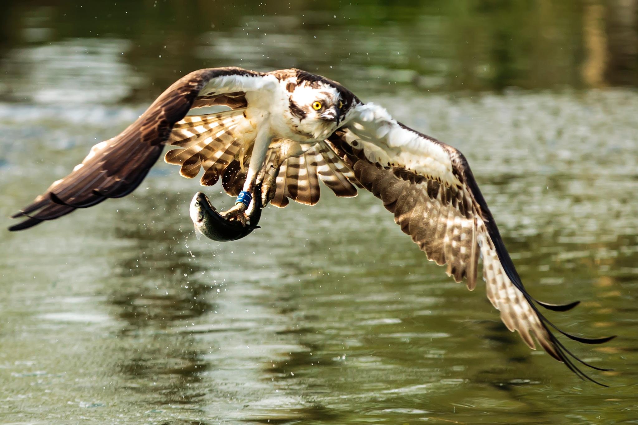 Osprey taking its prey by dgwhit