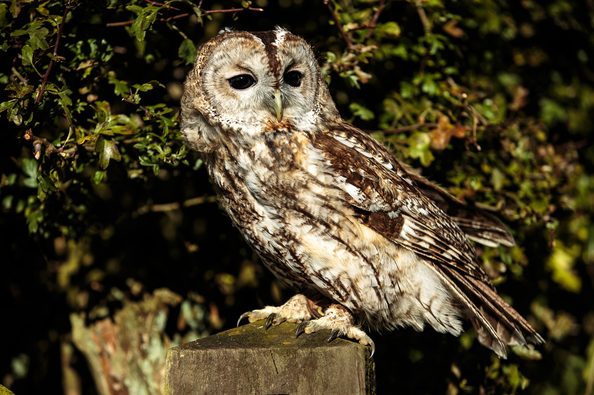 Young (6 months) Tawny Owl by dgwhit