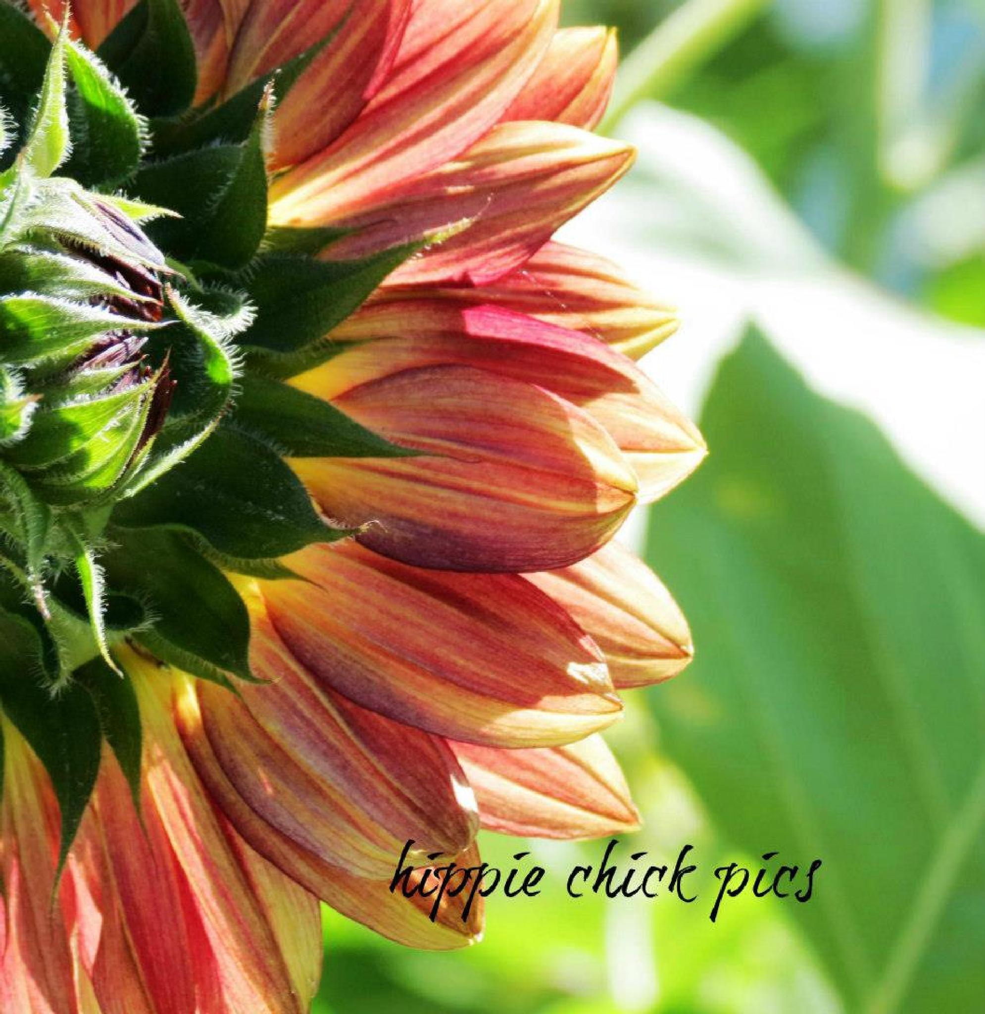 Sunflowers by hippiechick