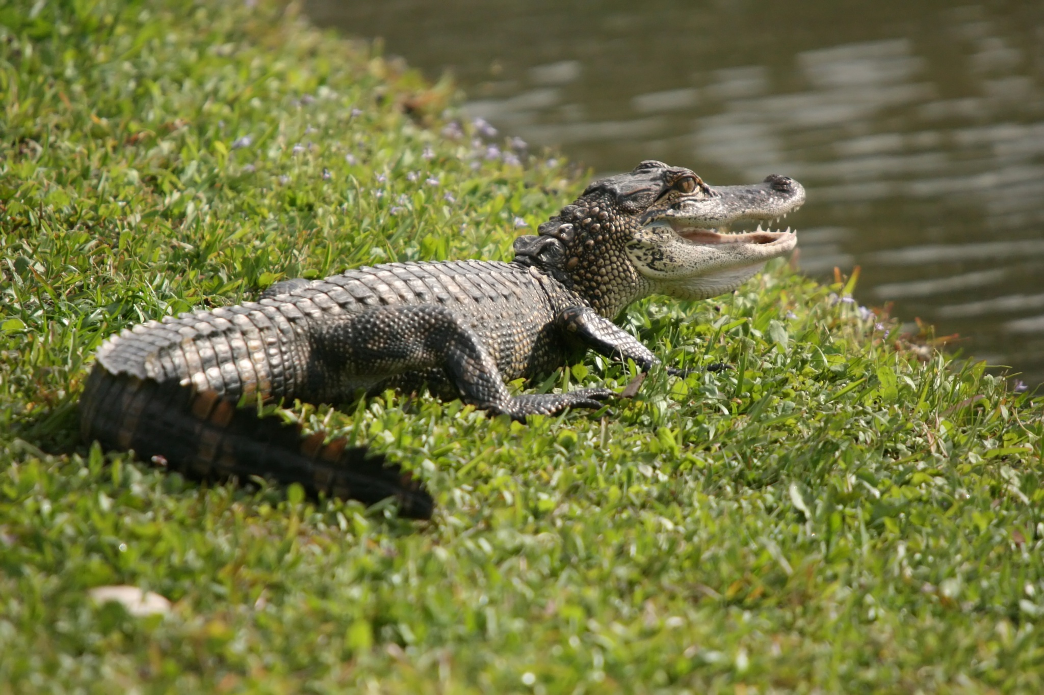 Young American Alligator by Regina Williams