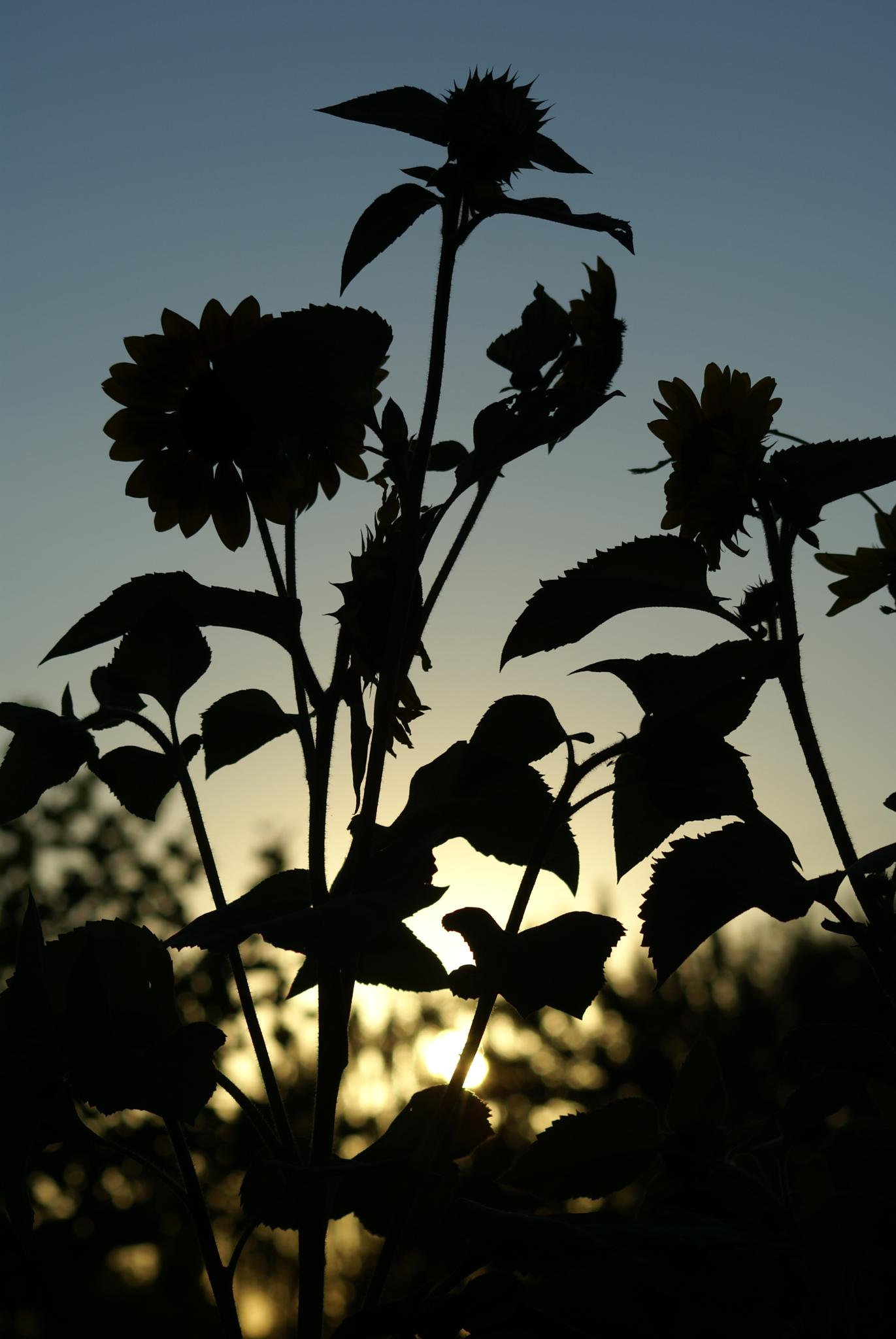 flowers at sunset by shawna.morgan.7