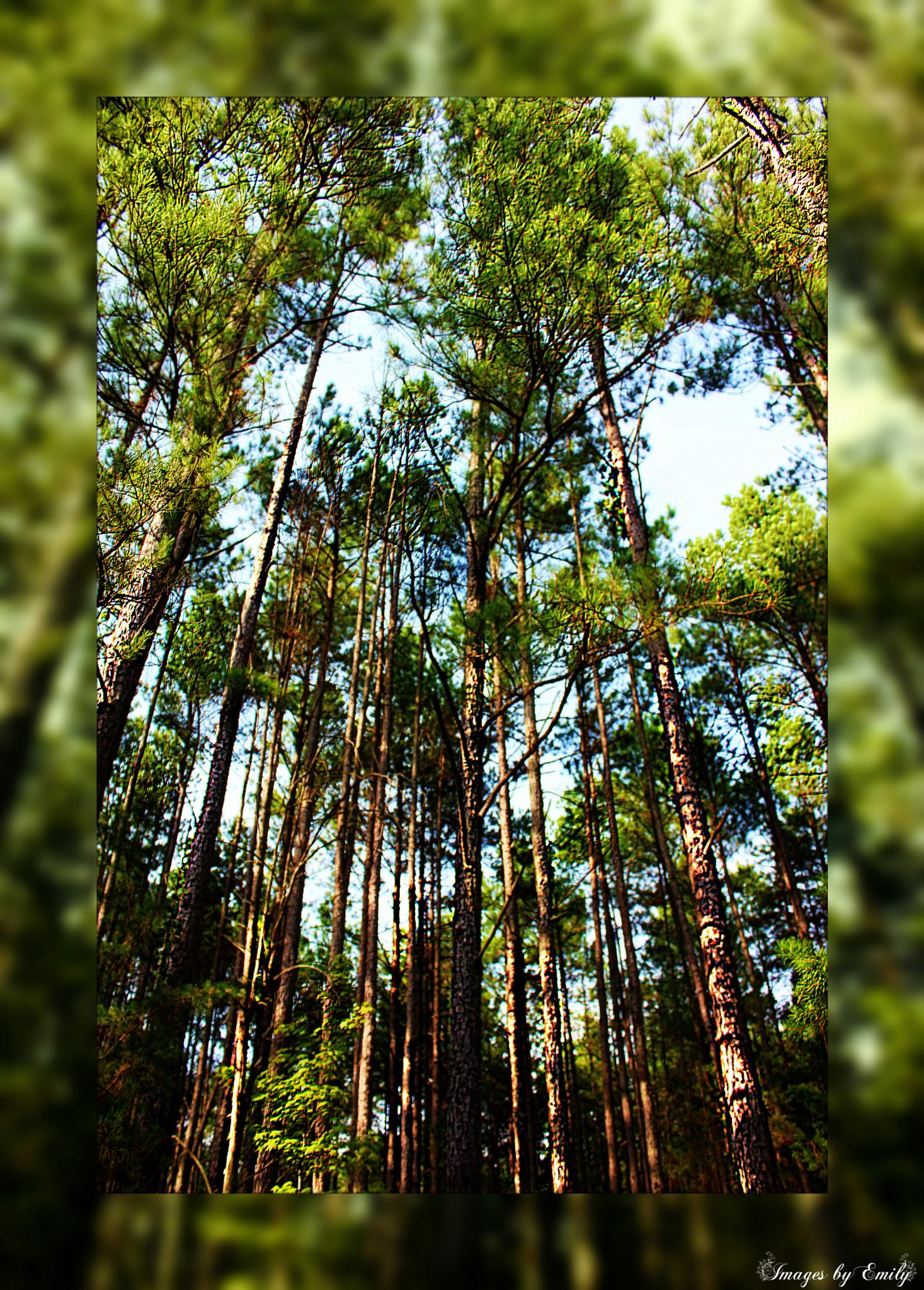 Tall Pines by Emily Grant