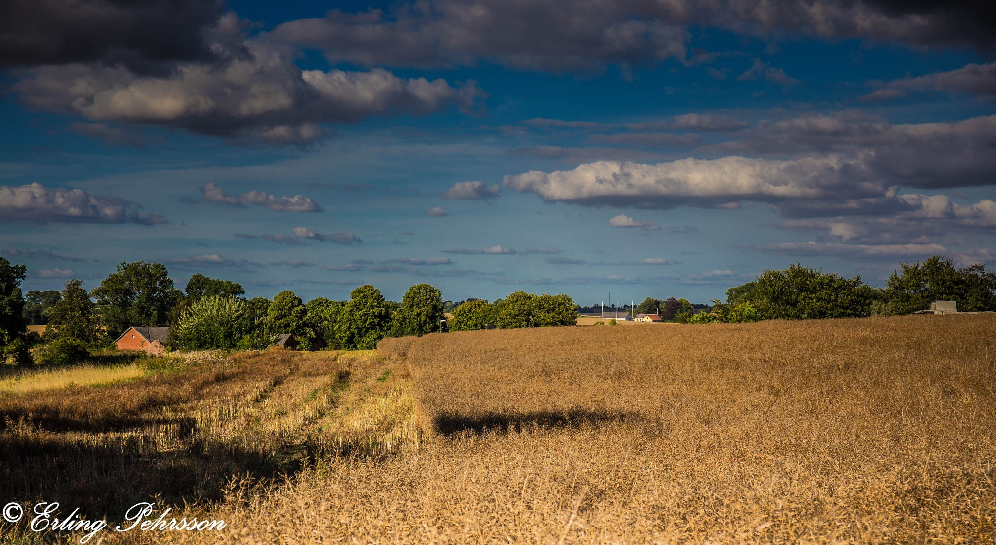 A cornfield by erling.pehrsson
