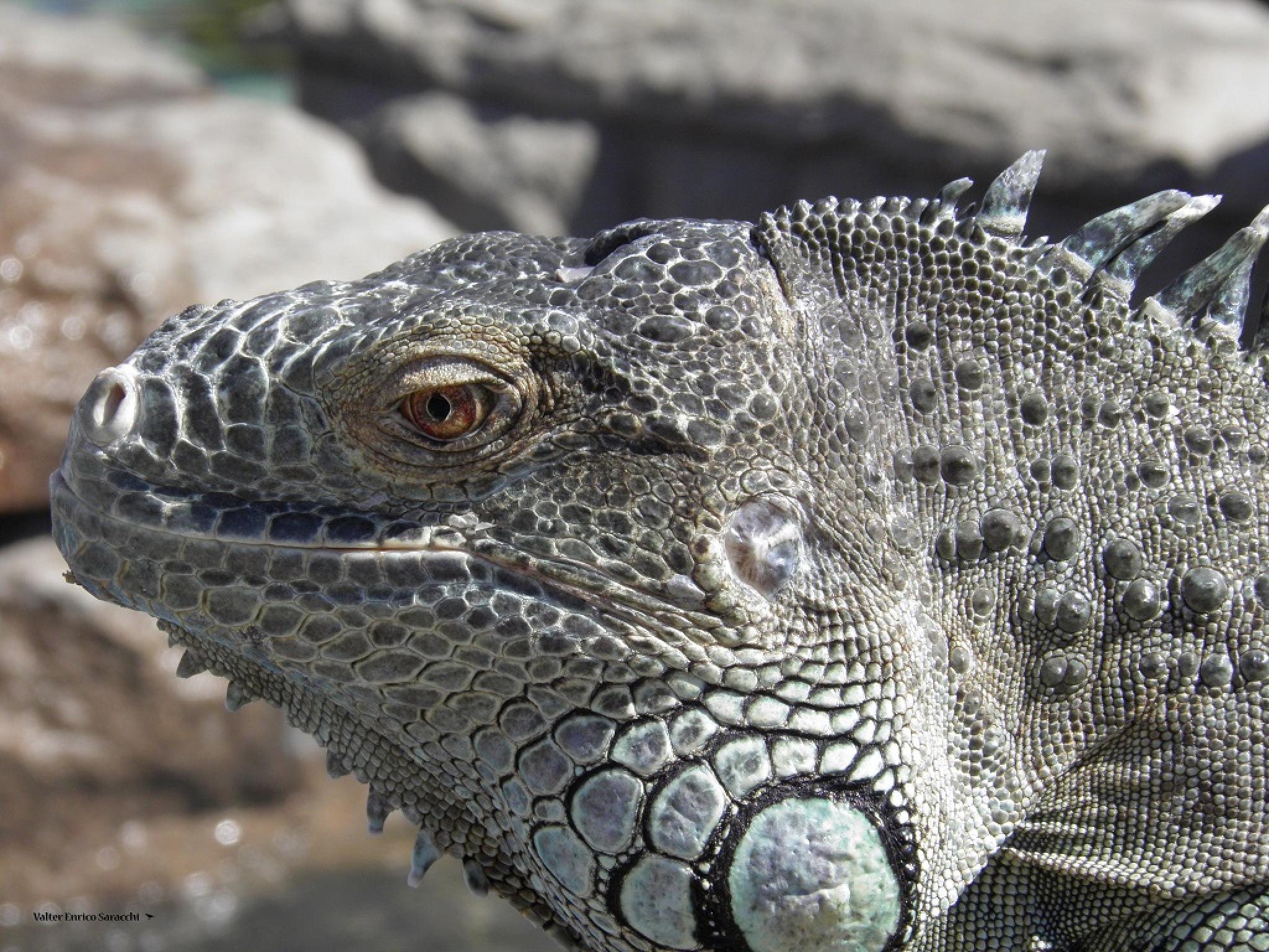 Iguana  by valtersaracchi