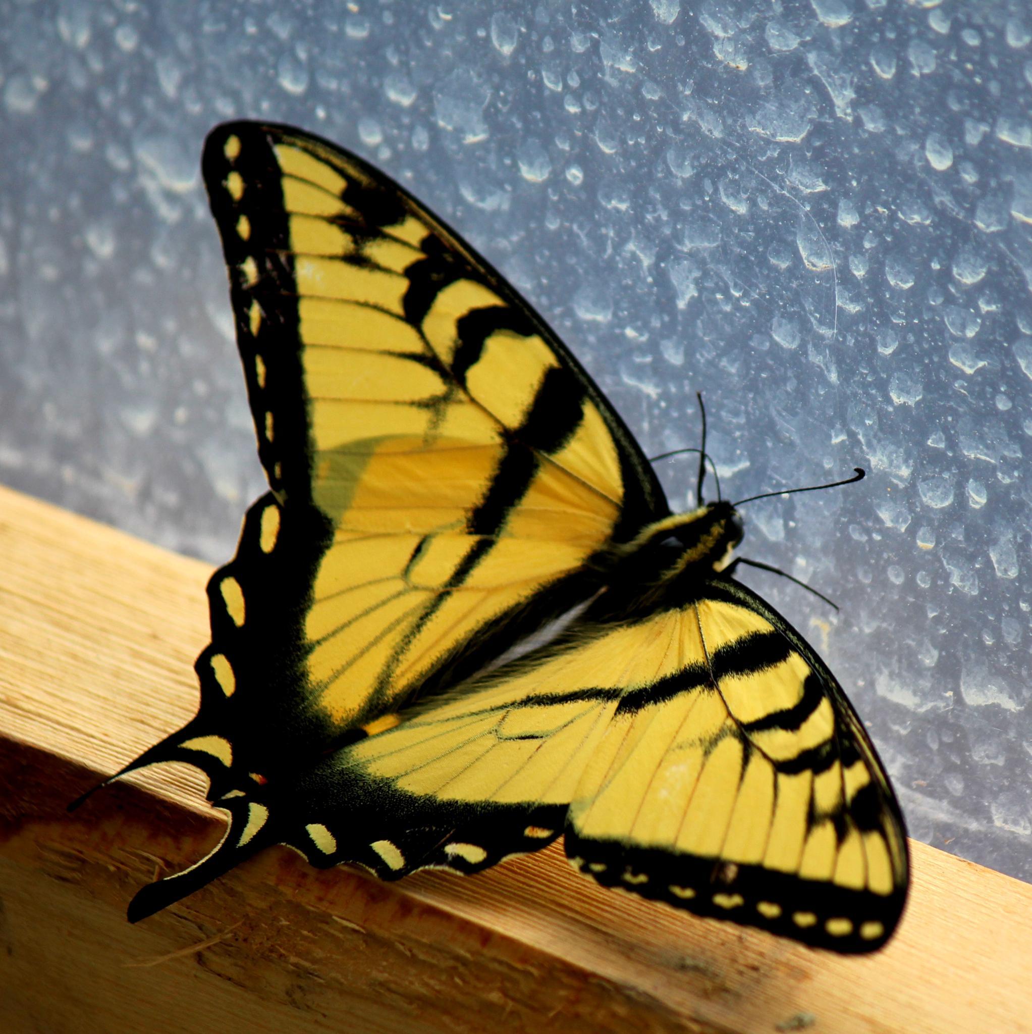 Monarch Trapped by midge.vanetten