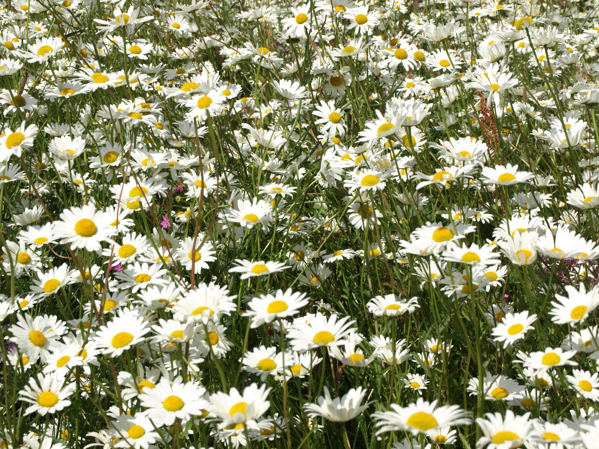 Ox eye daisies by JoG