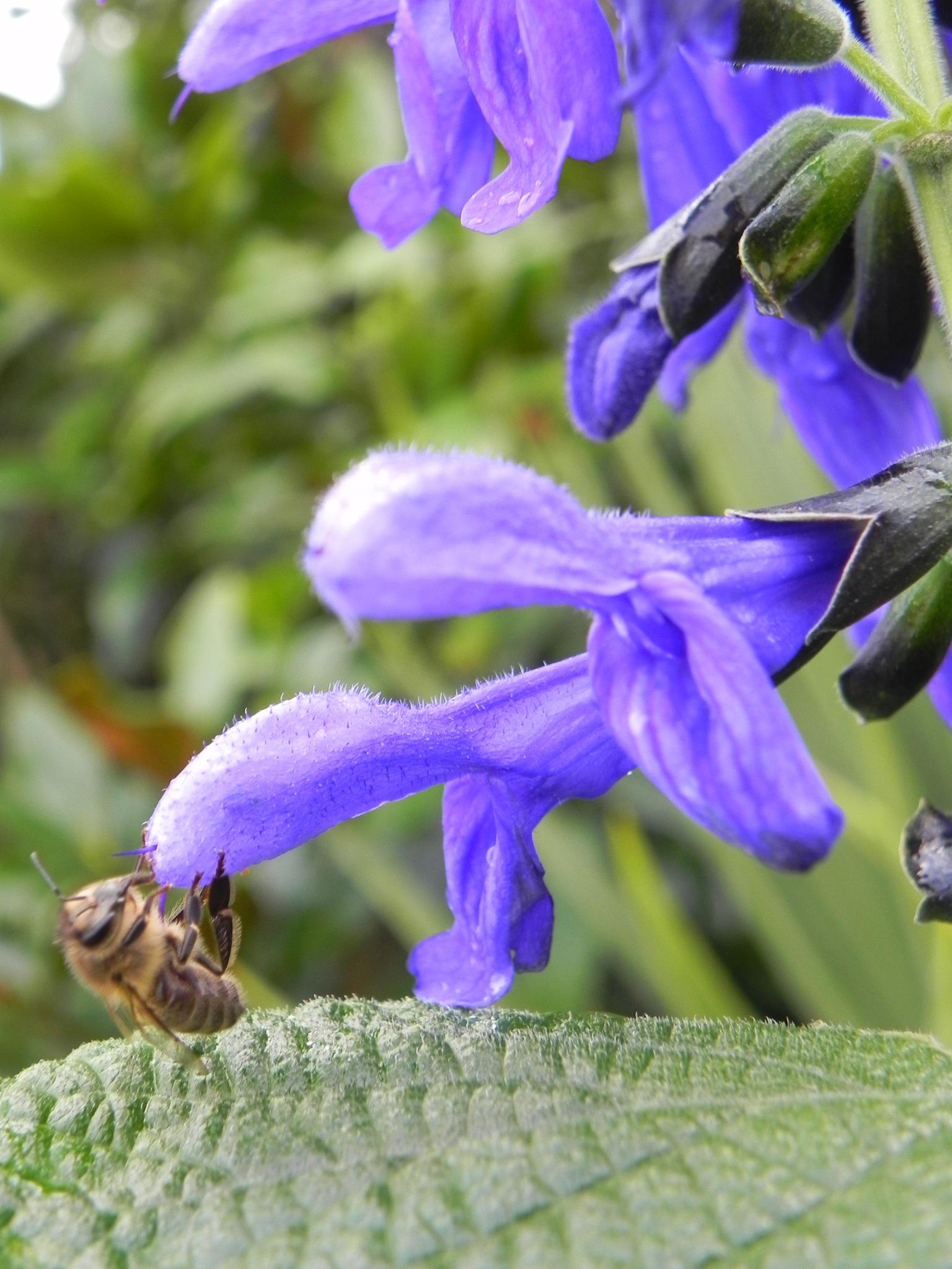 Bee on a salvia by JoG