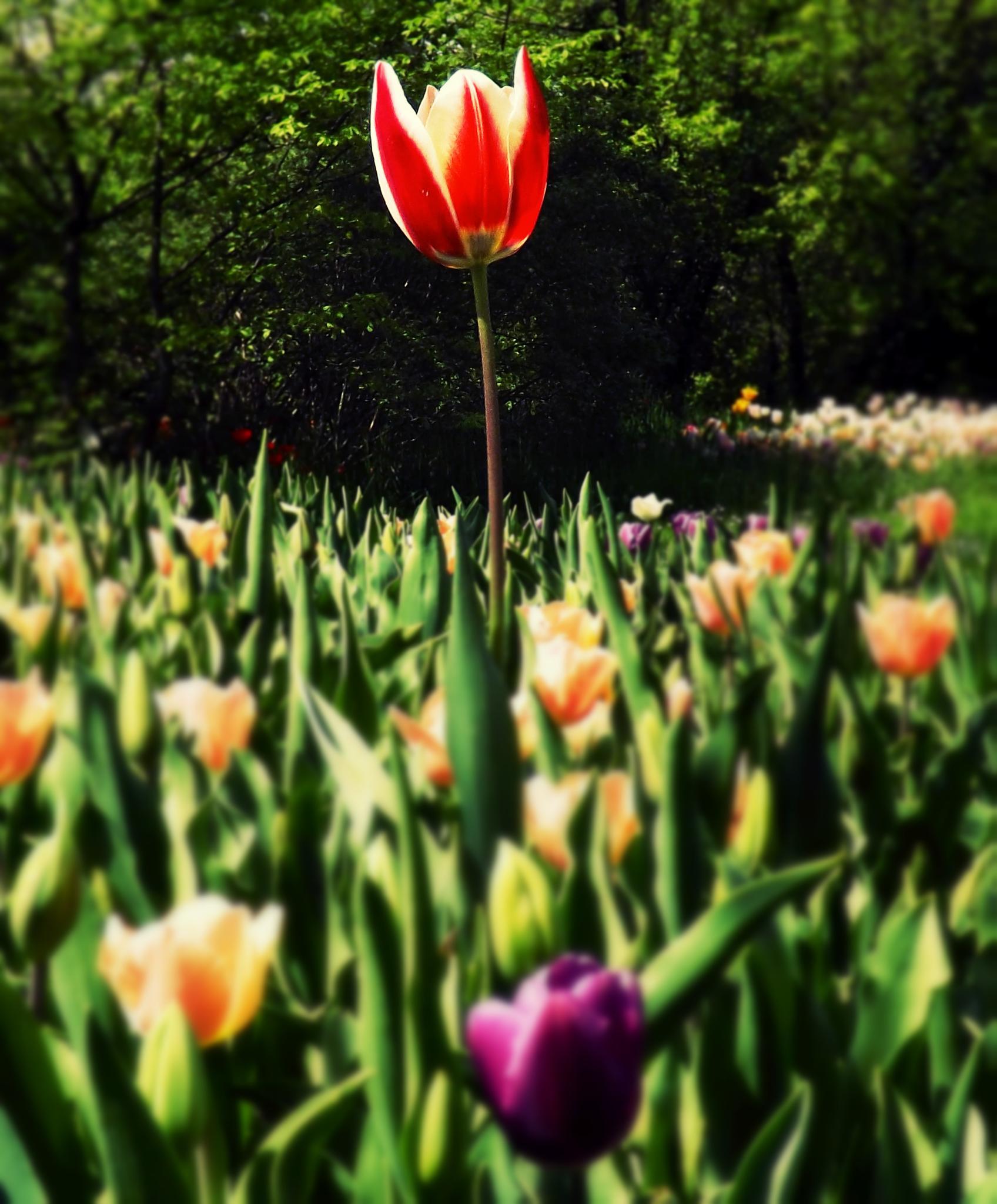 Tulip#2 by Mauro La Martina