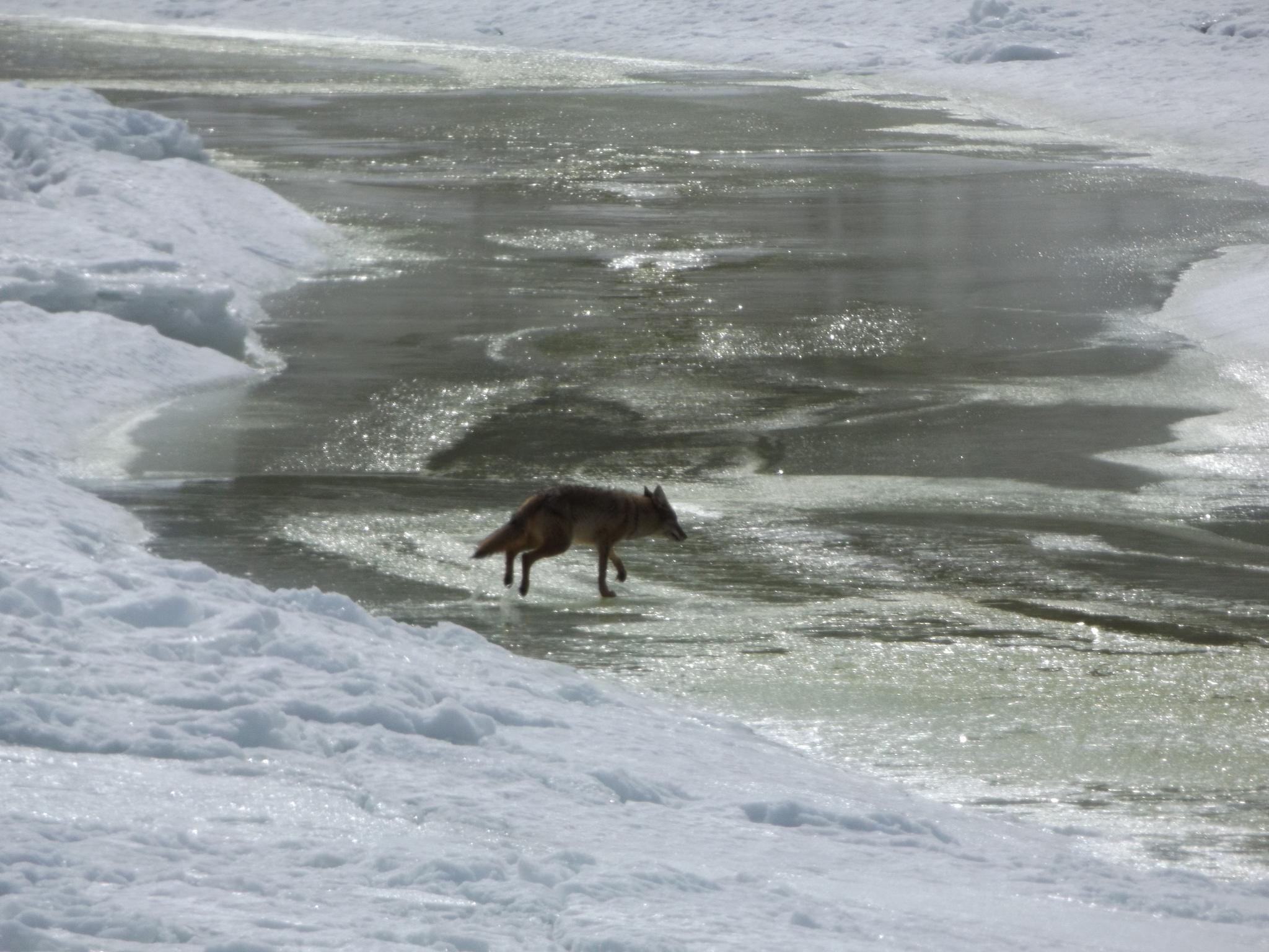 Coyote by taryn  bills