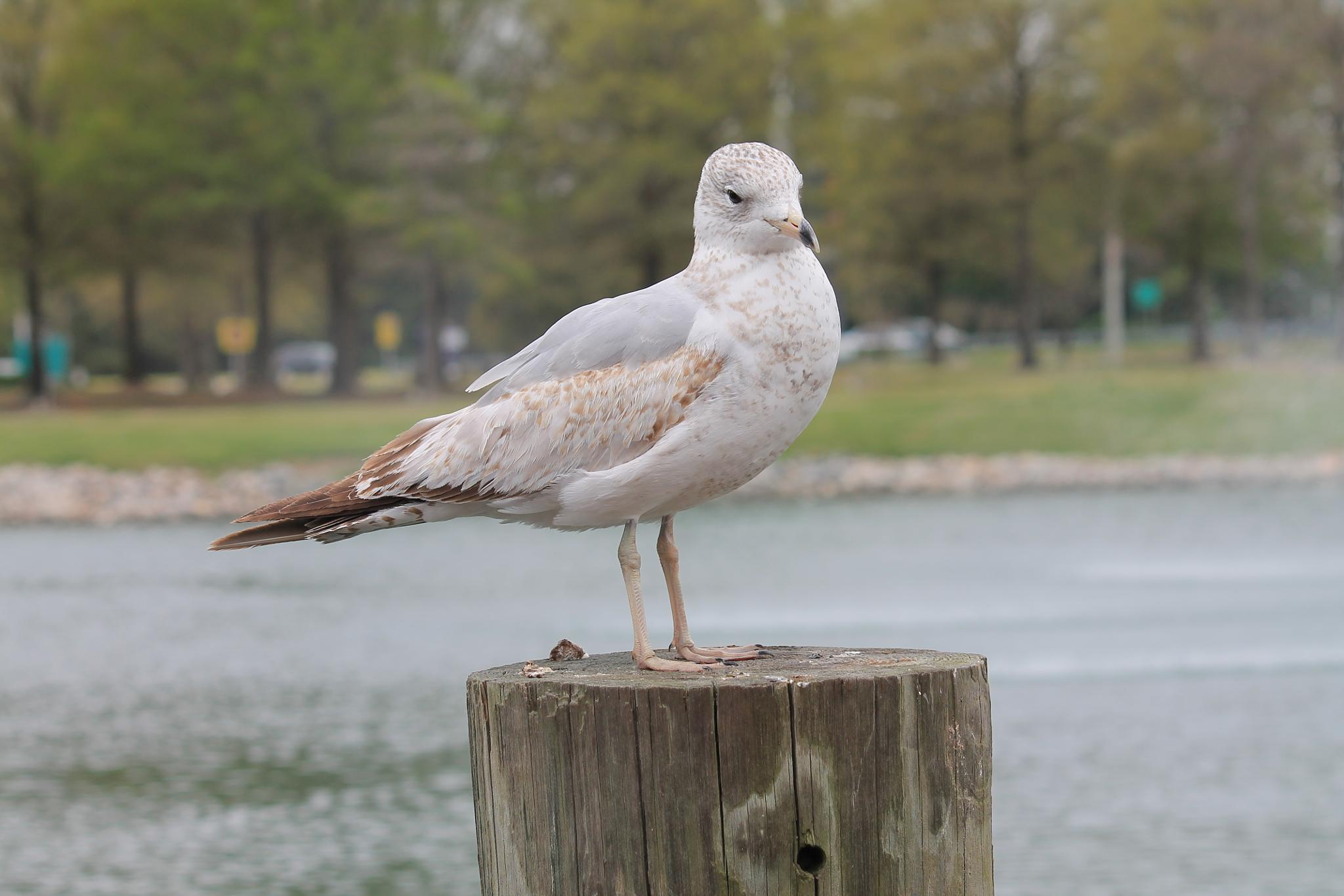 Seagull up close by Tamoa Dye