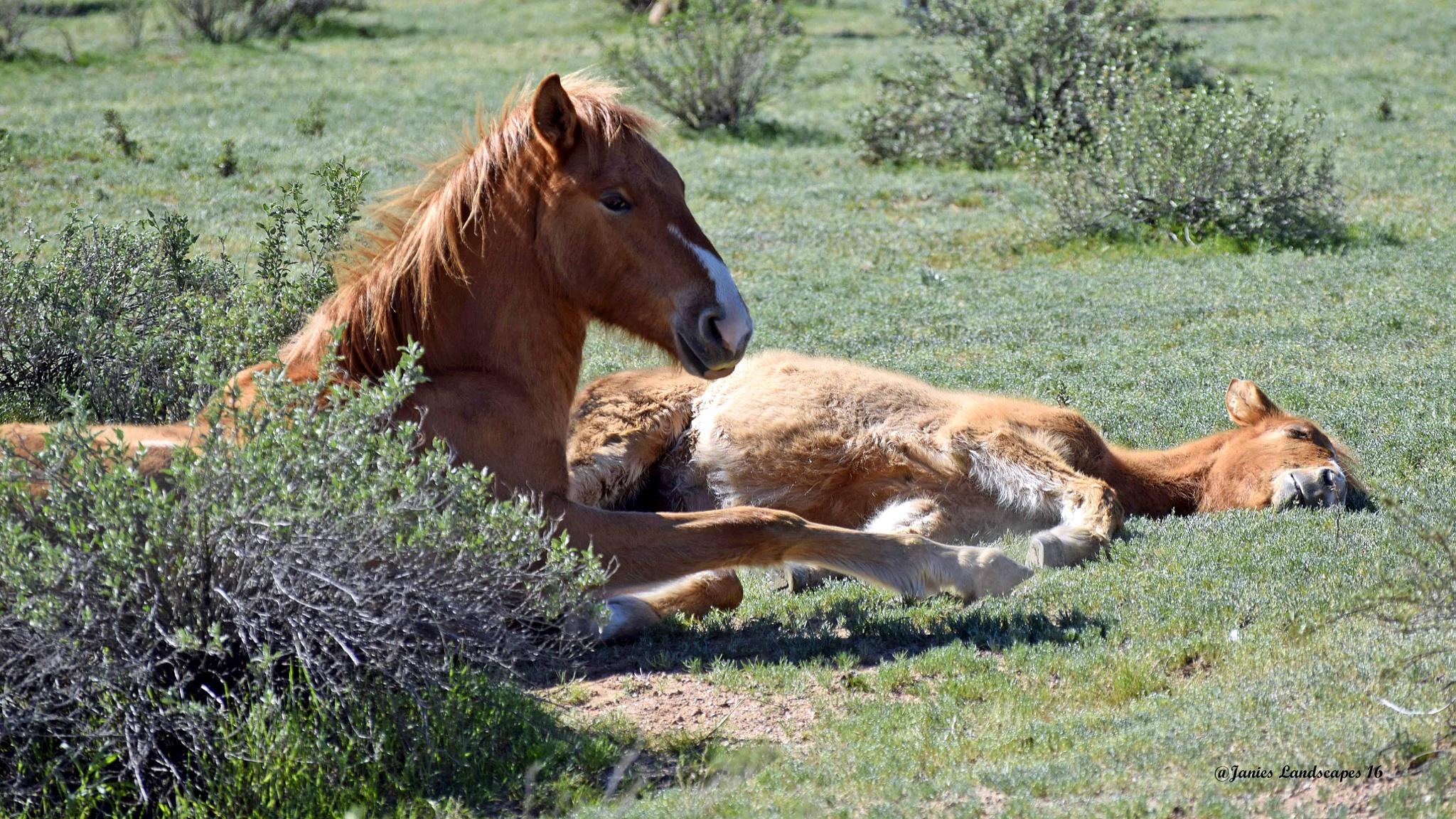 Photo in Animal #wild horses #foals asleep #nap time with wild horses #salt river wild horses