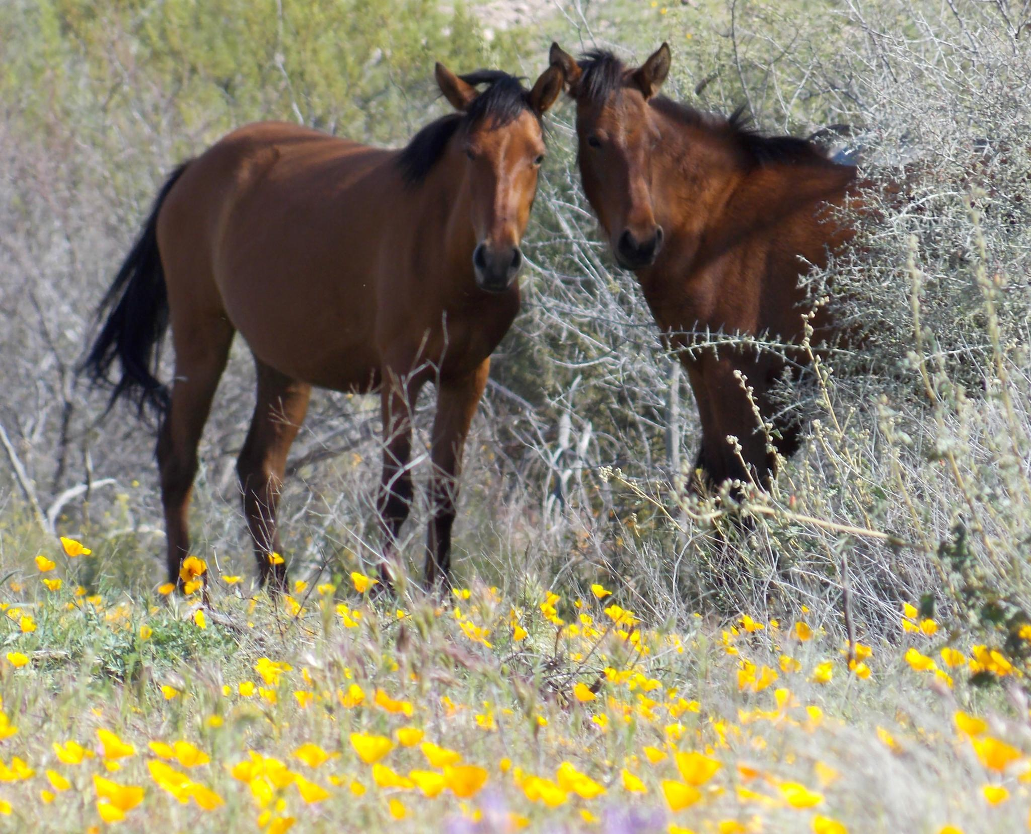 Wild horses in the Poppies by JanetSNeil