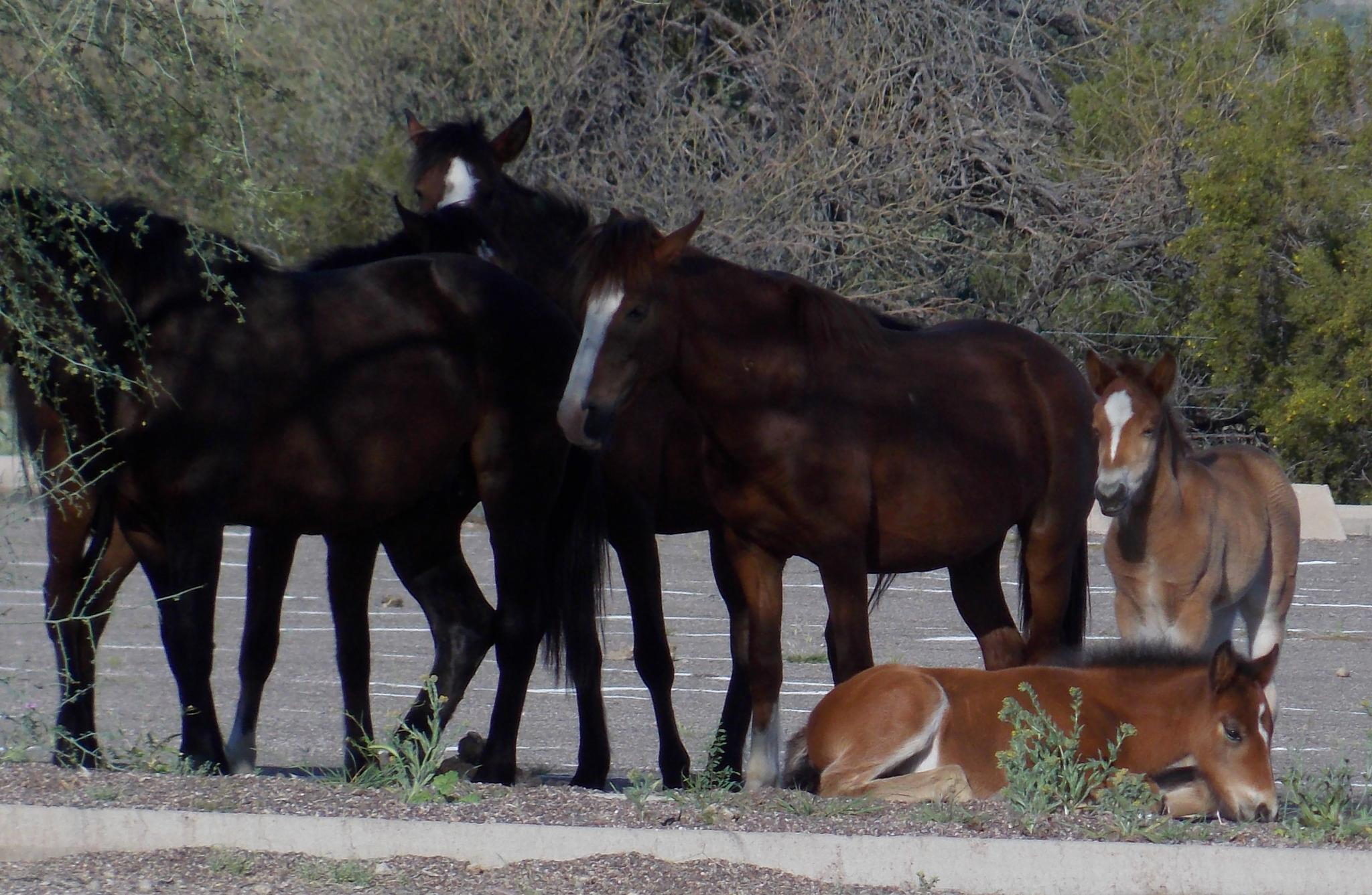 Wild Horses in Arizona by JanetSNeil