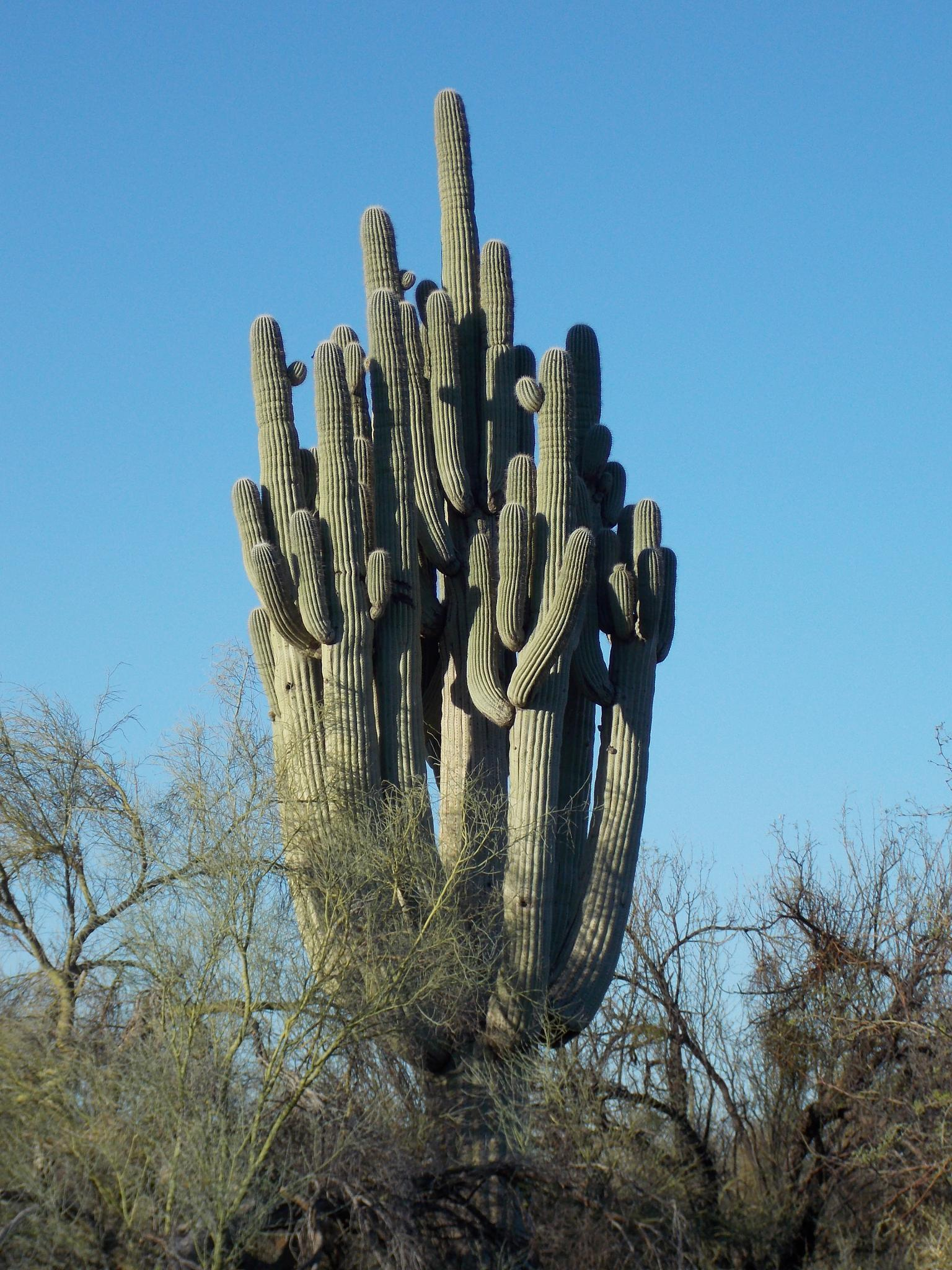 Very old Saguaro Cactus by JanetSNeil