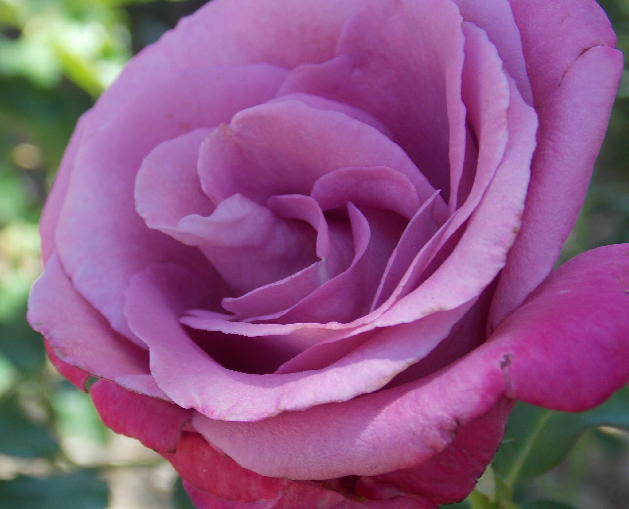 Photo in Macro #roses #purple roses #garden #flower beds