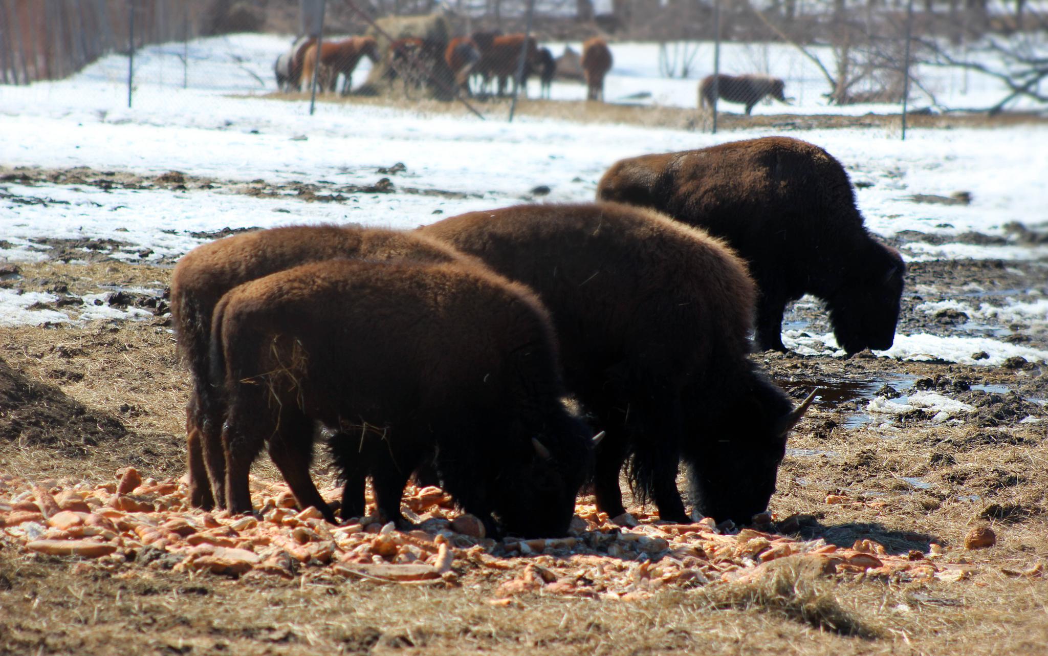 Buffalo Gals! by mmich5569