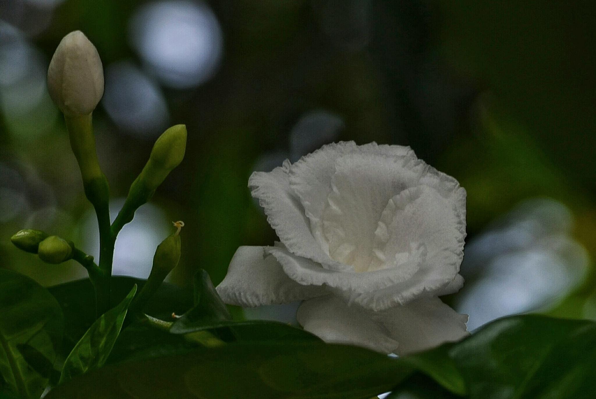 white flower by bambang irawan