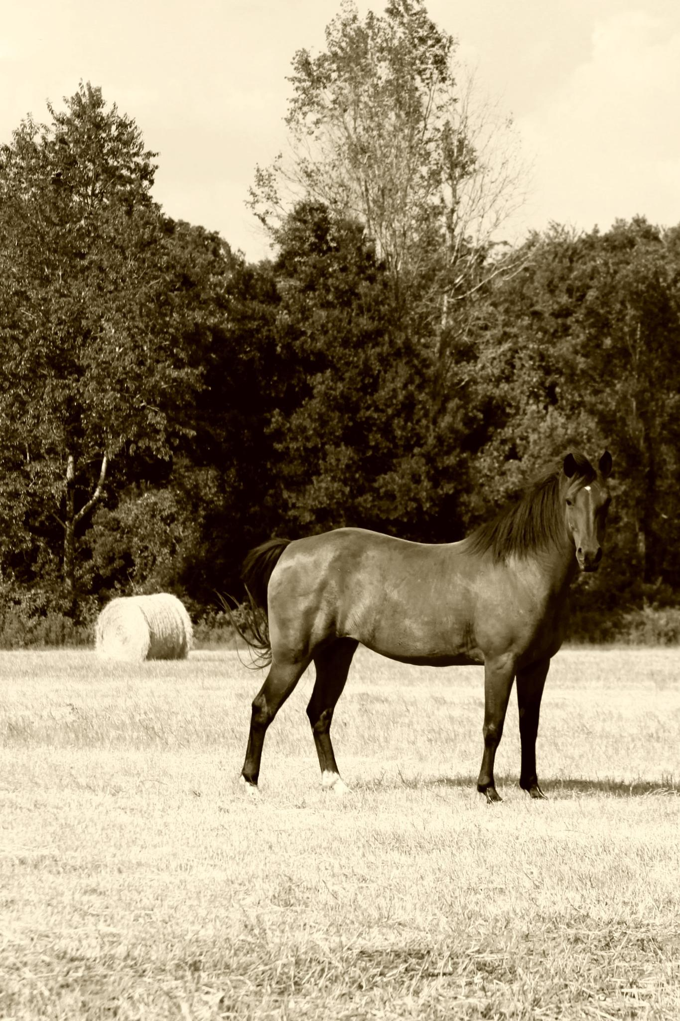 Our Bay Horse In The Hay Field by KimParrish