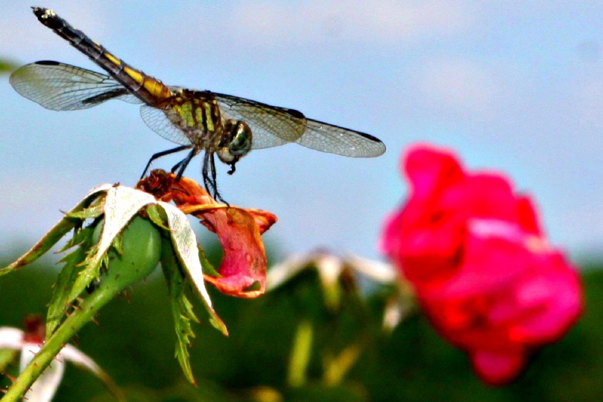 Dragonfly 1 by KimParrish