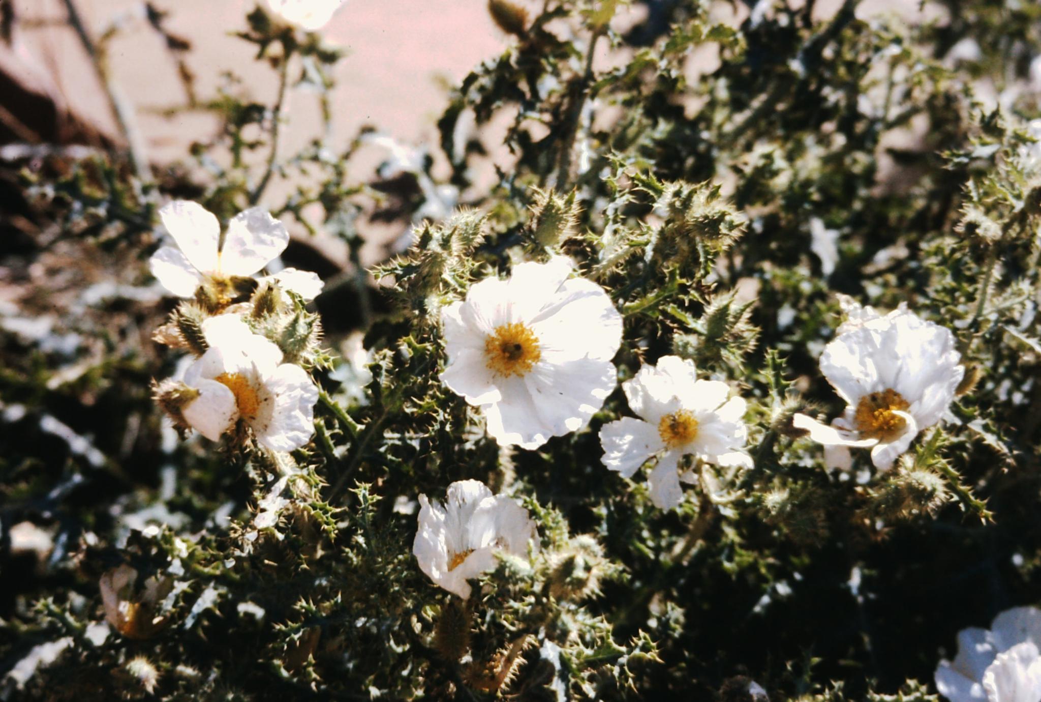 Grand Canyon flowers by josef.bartruff