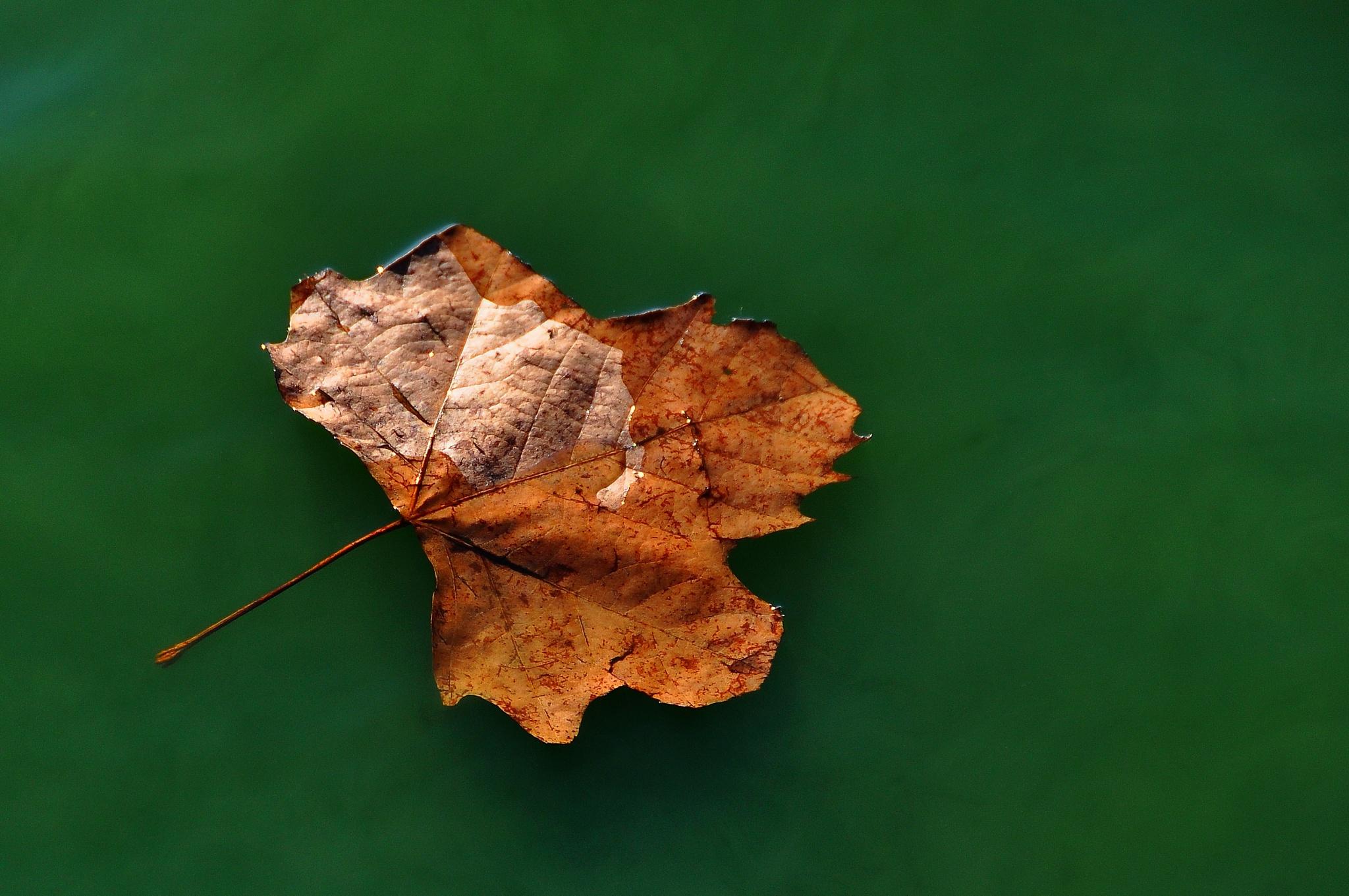 leaf by zdenkostricki