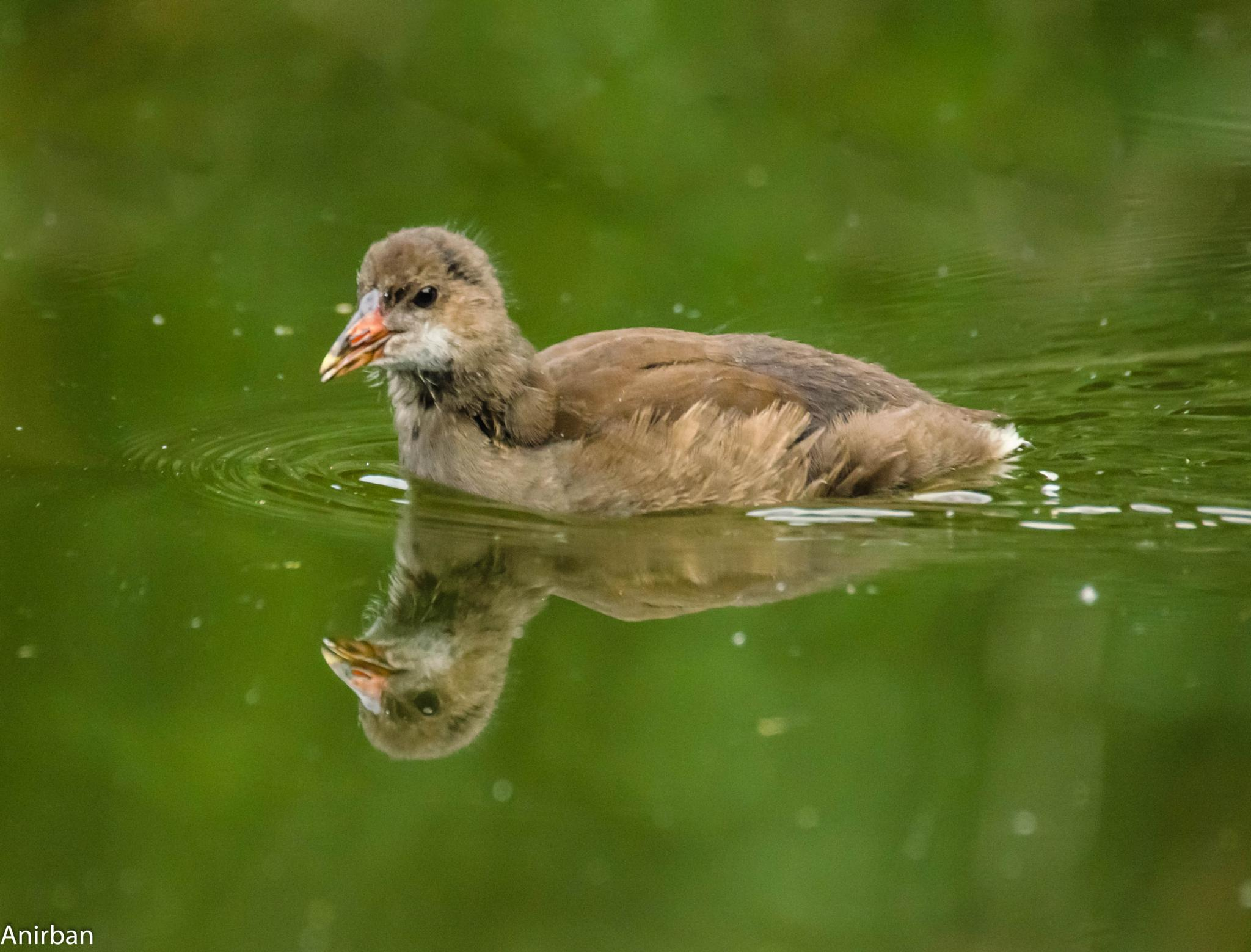 Moorhen Chick by Anirban Mukhopadhyay