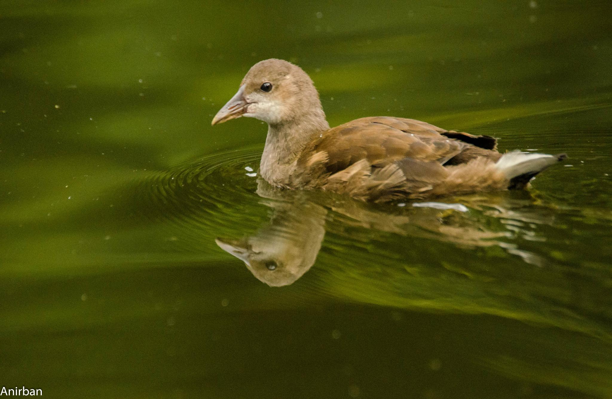 Portrait of a Swimming female Moorhen chick by Anirban Mukhopadhyay