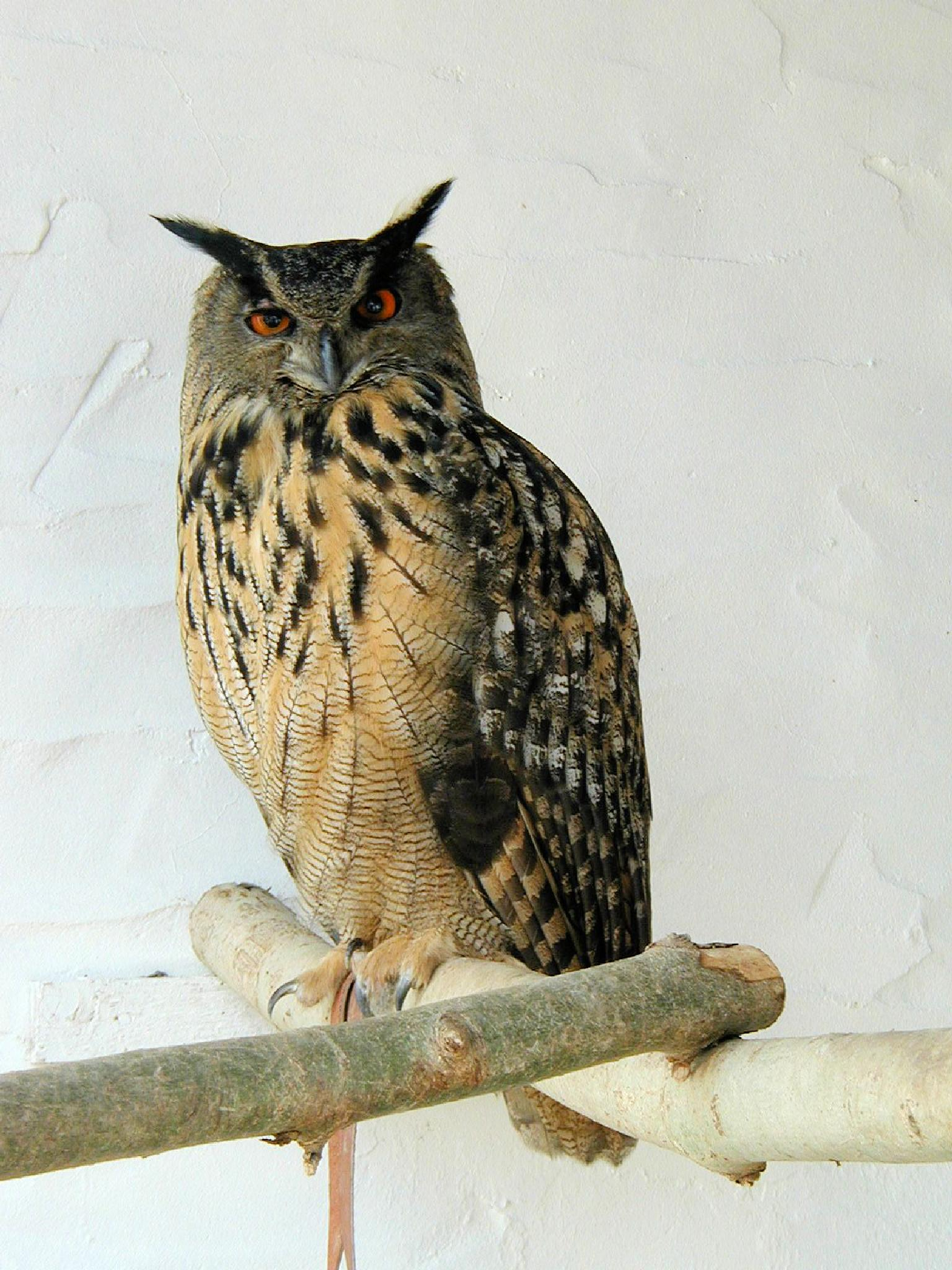 Owl by Graham Wood Photo Collection